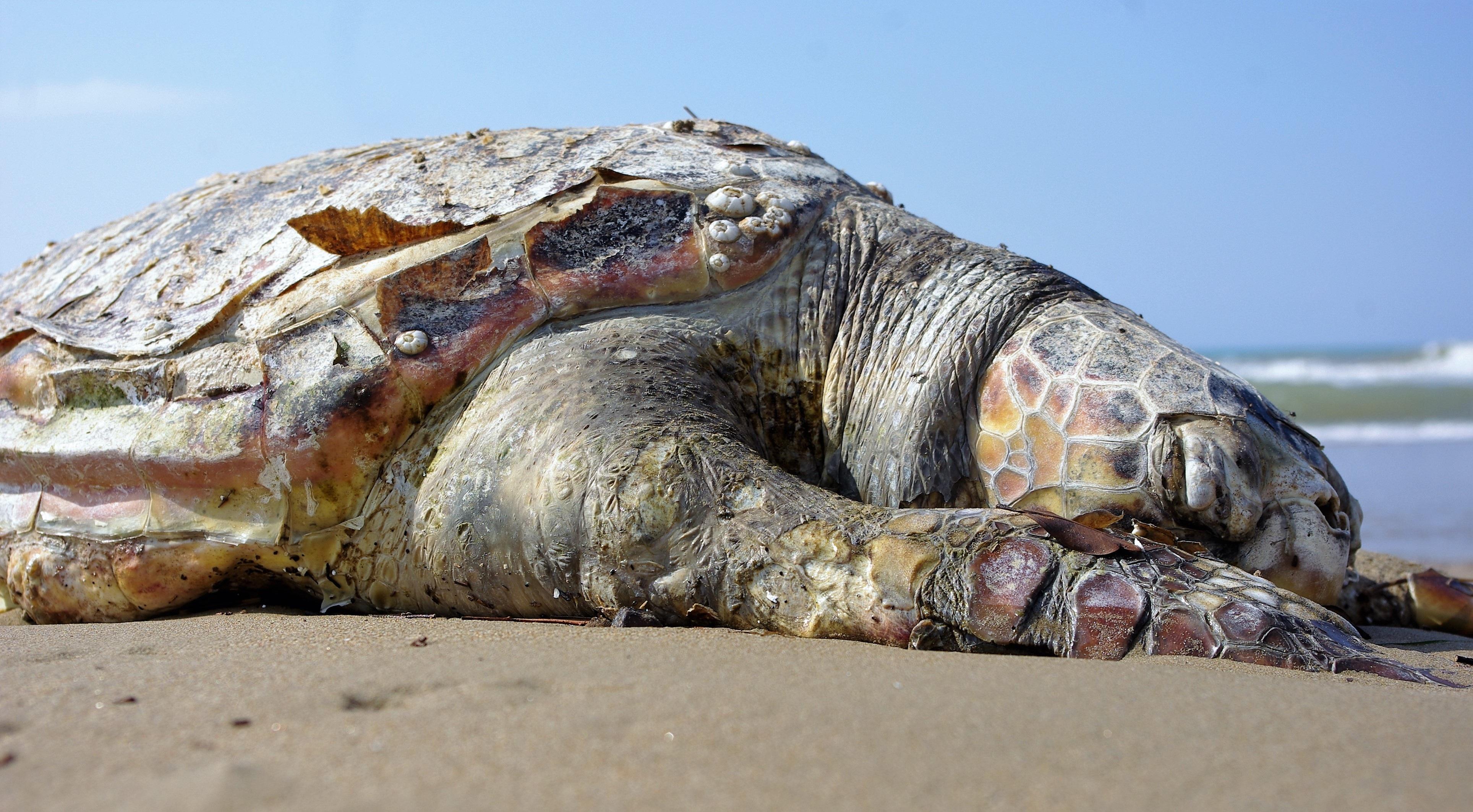 Turtle on the beach photo