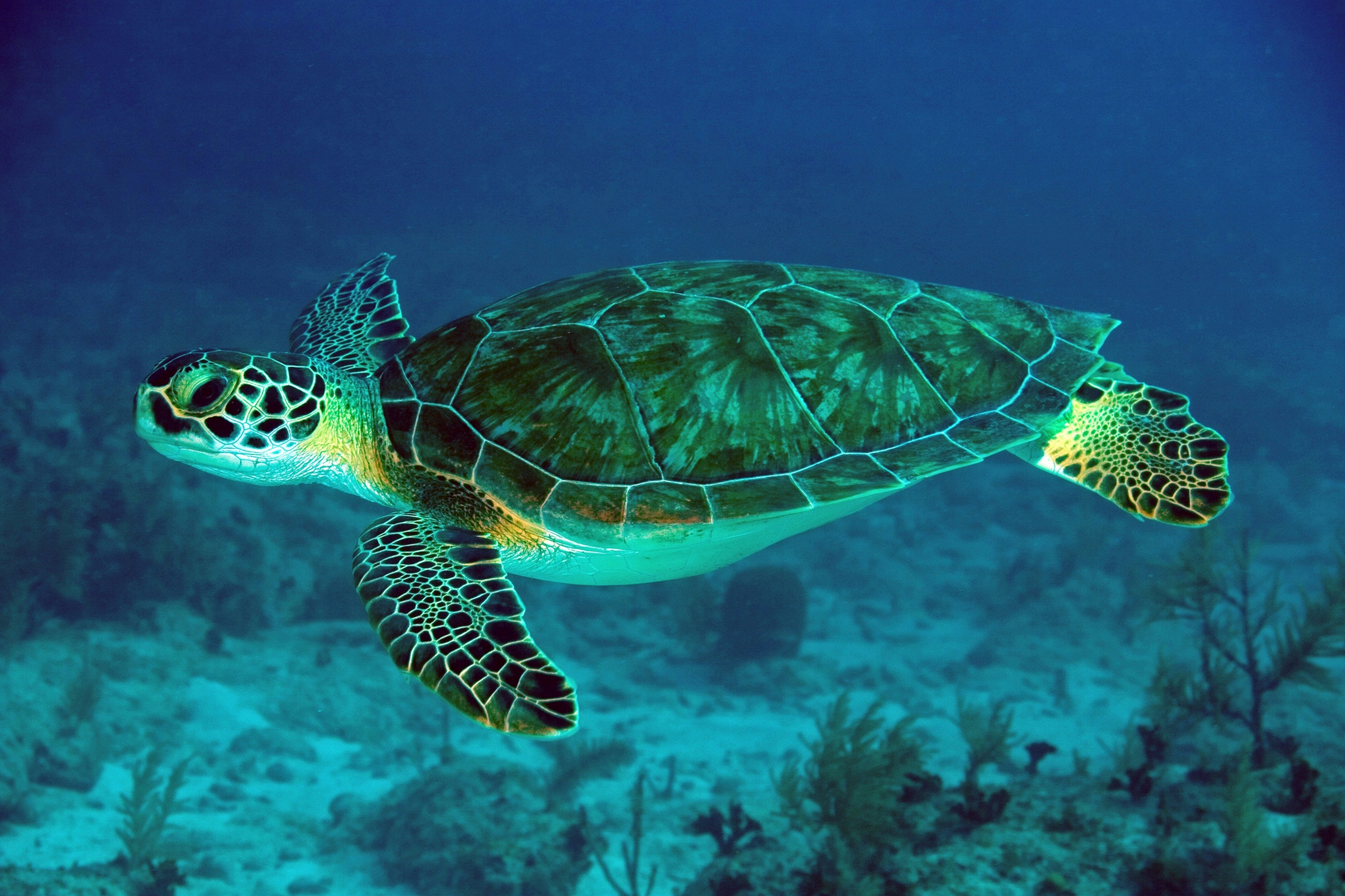 Green Turtle Swimming in Sea | HD Wallpapers