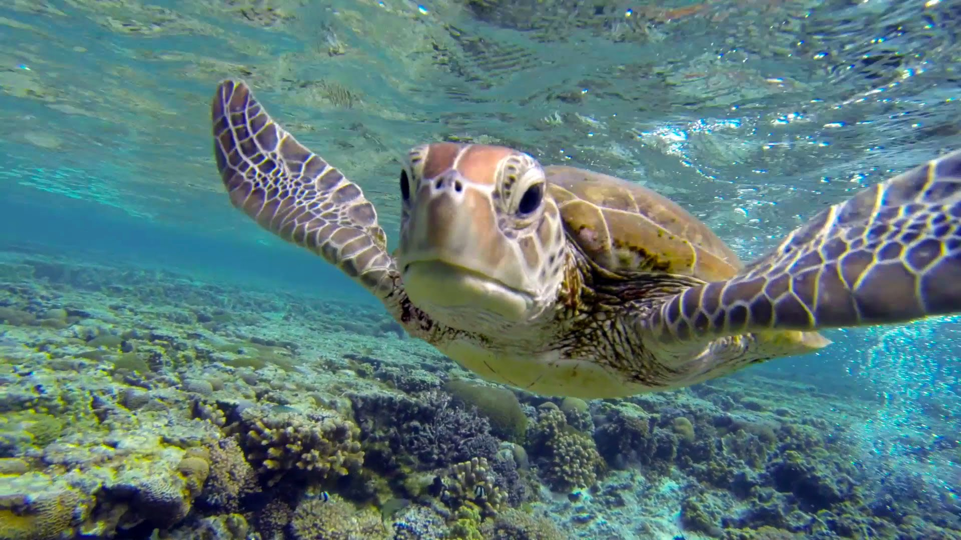 Swim with a hungry sea turtle at Lady Elliot Island, Great Barrier ...