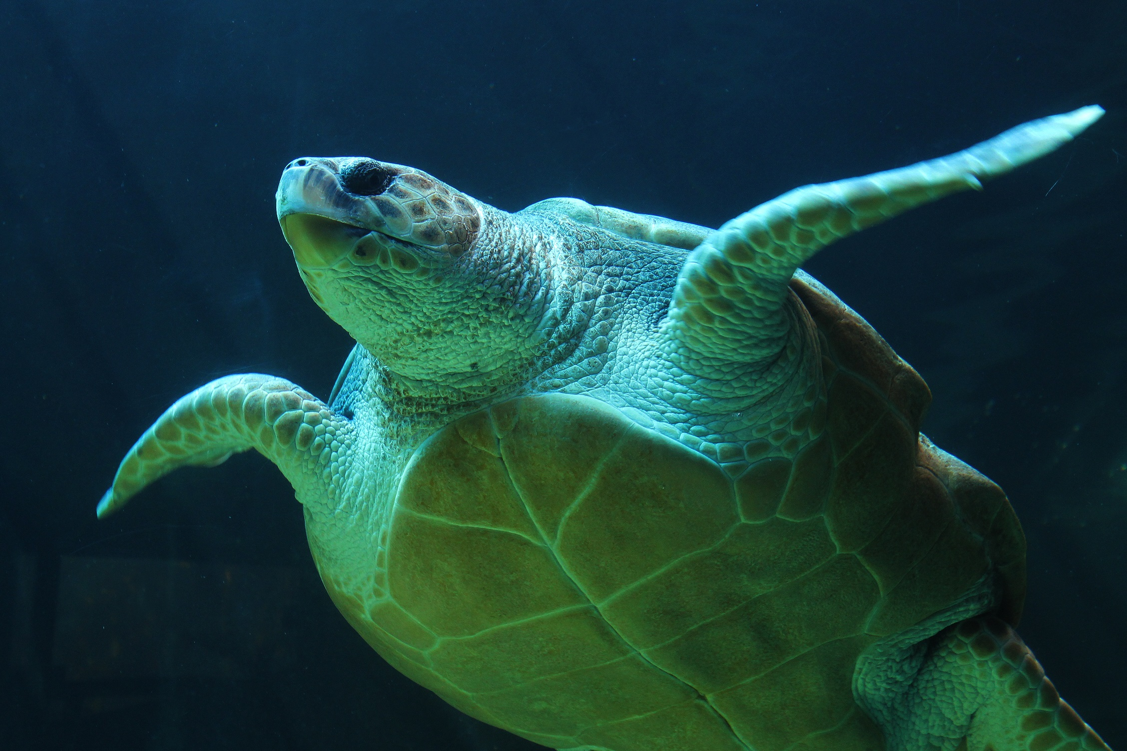 Turtle swim, Animal, Blue, Deep, Sea, HQ Photo