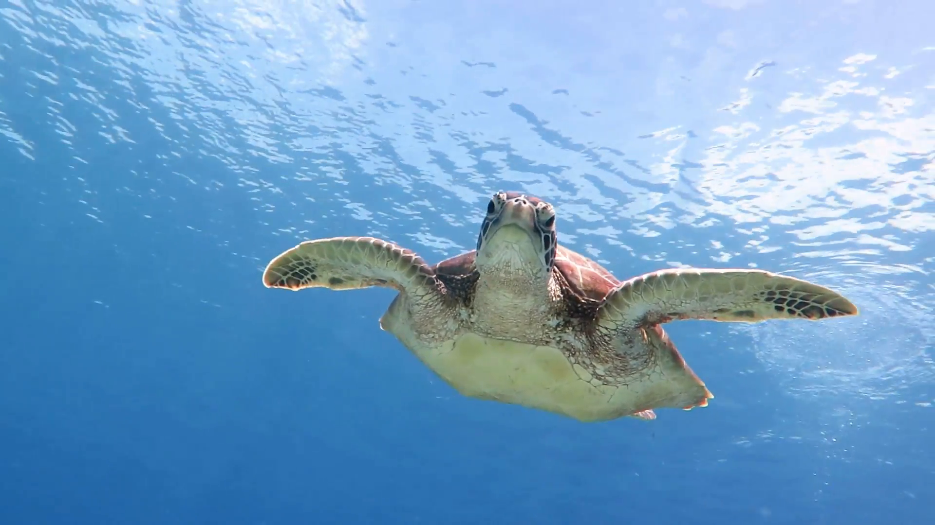 Big Hawksbill sea turtle swimming toward and above camera in a blue ...