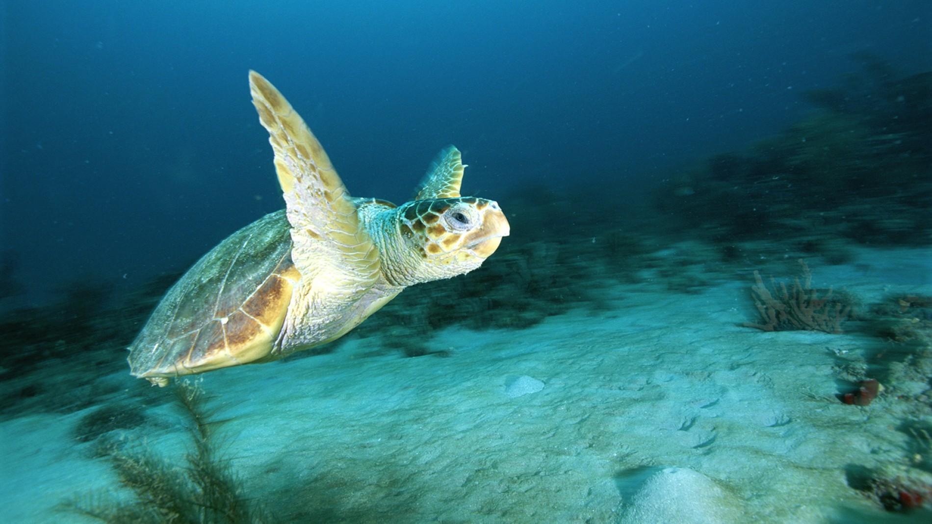 Download Pitchers Of Turtles Unique Loggerhead Sea Turtle Swimming ...