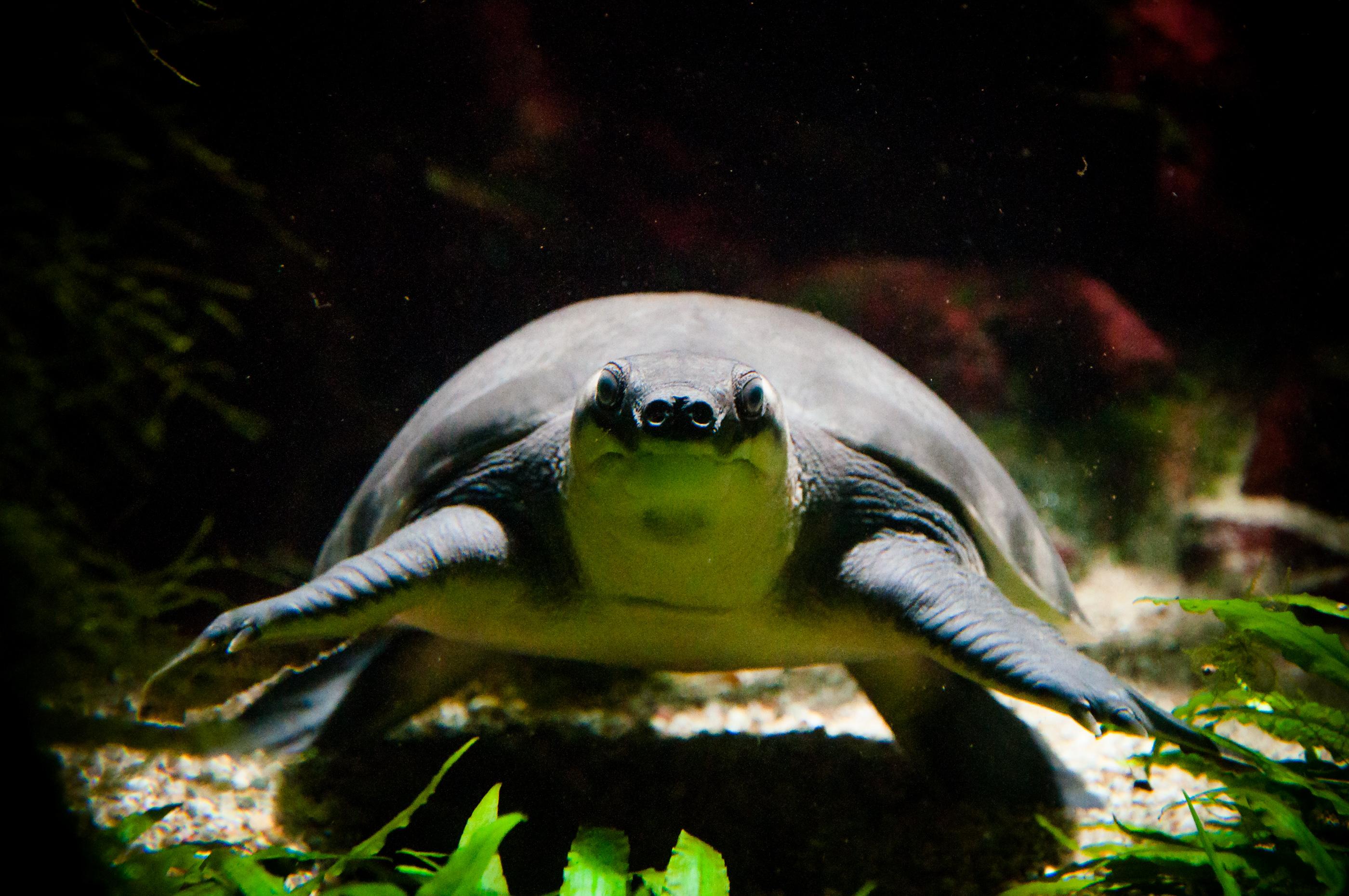 Turtle swimming, Adorable, Amazon, Animal, Aquarium, HQ Photo
