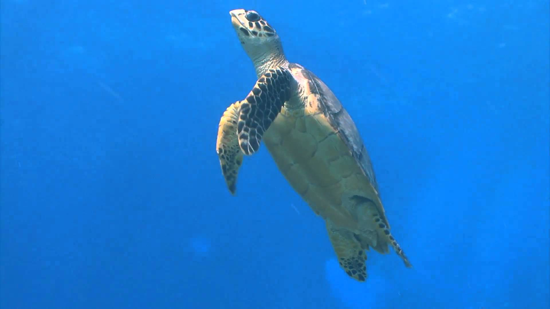 sea turtle swimming up to surface - YouTube