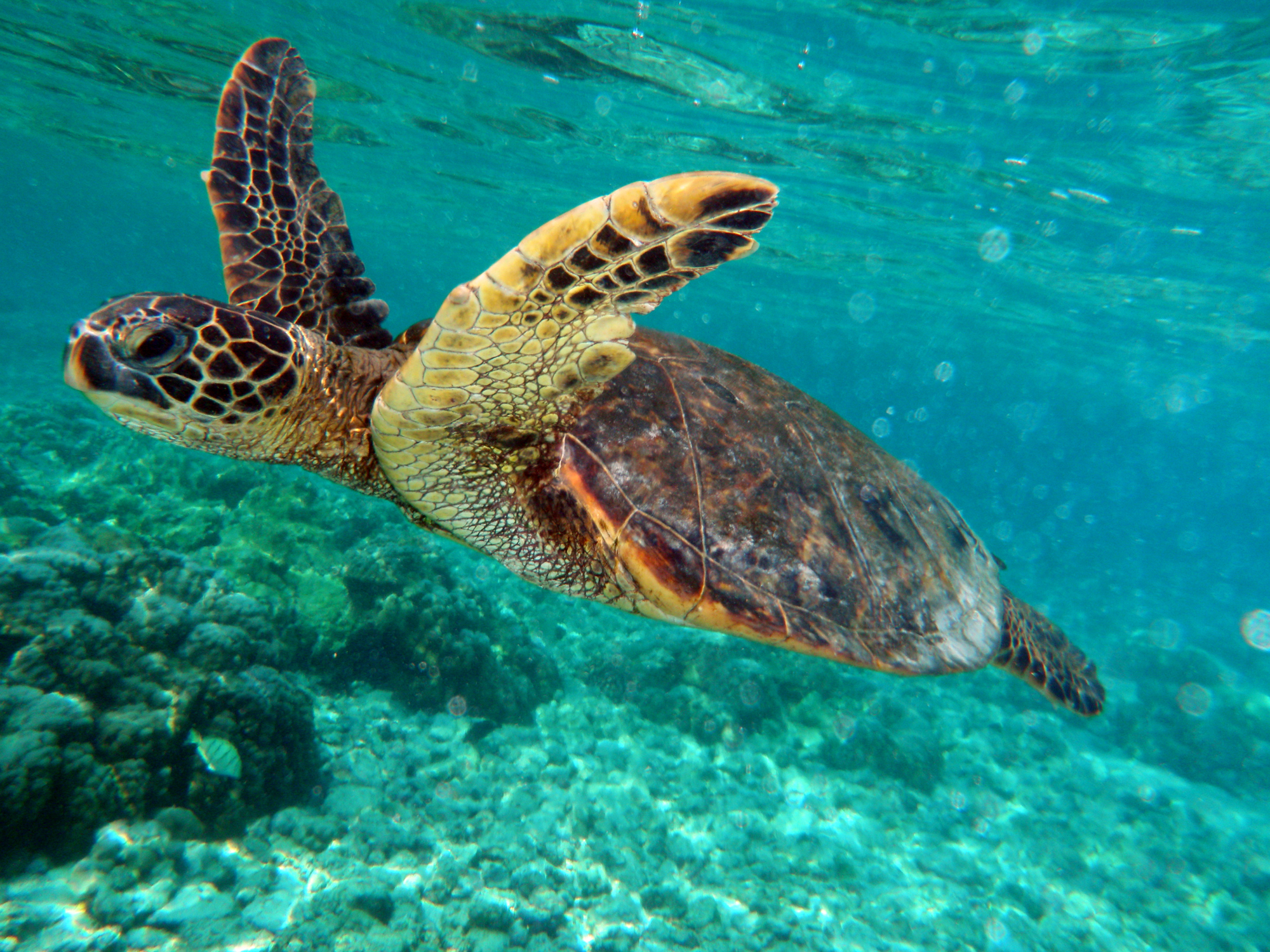 Swimming Turtle Wallpaper Photos Wallpaper | WallpaperLepi