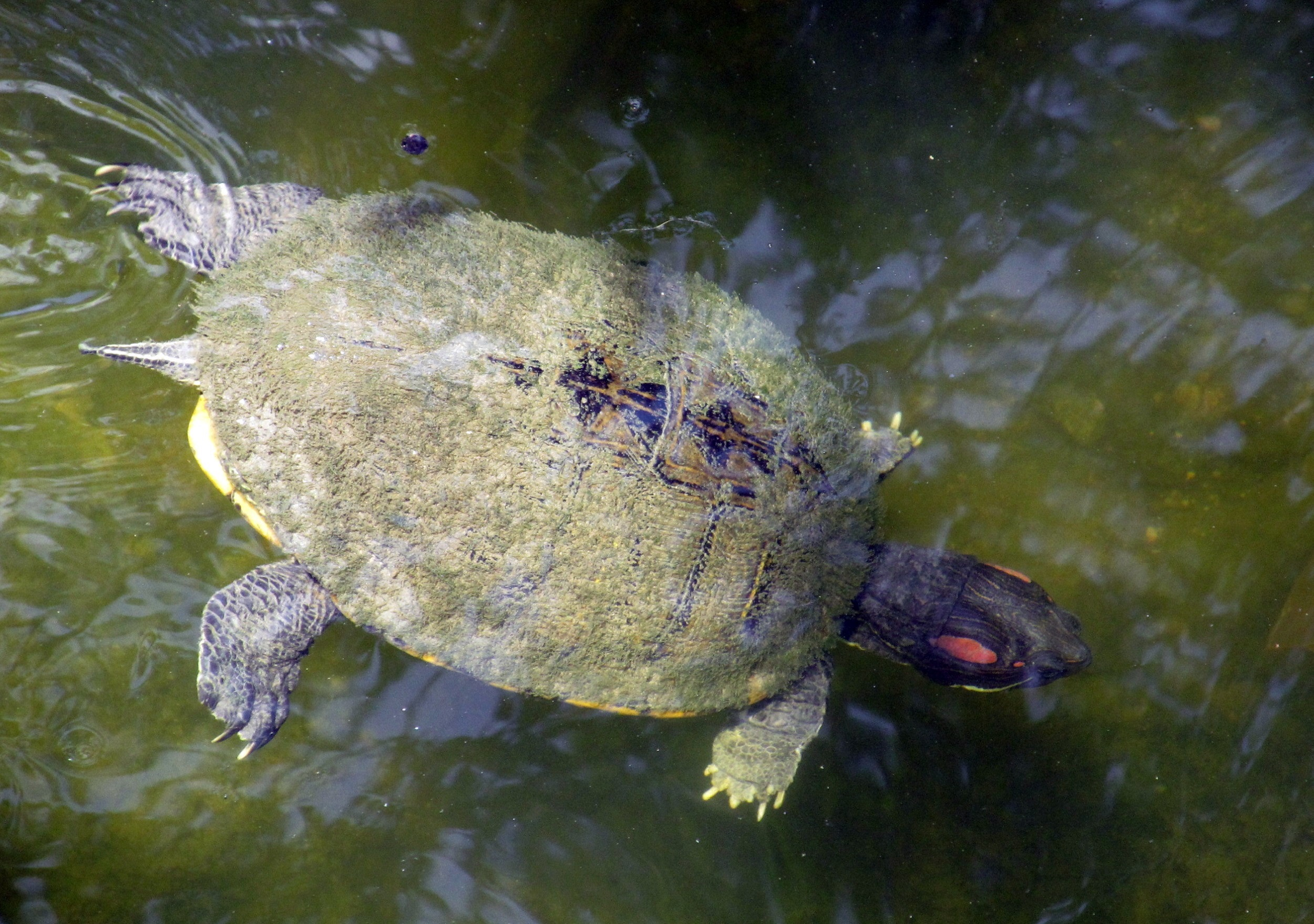 Turtle Swimming, Animal, Flow, Nature, Swimming, HQ Photo