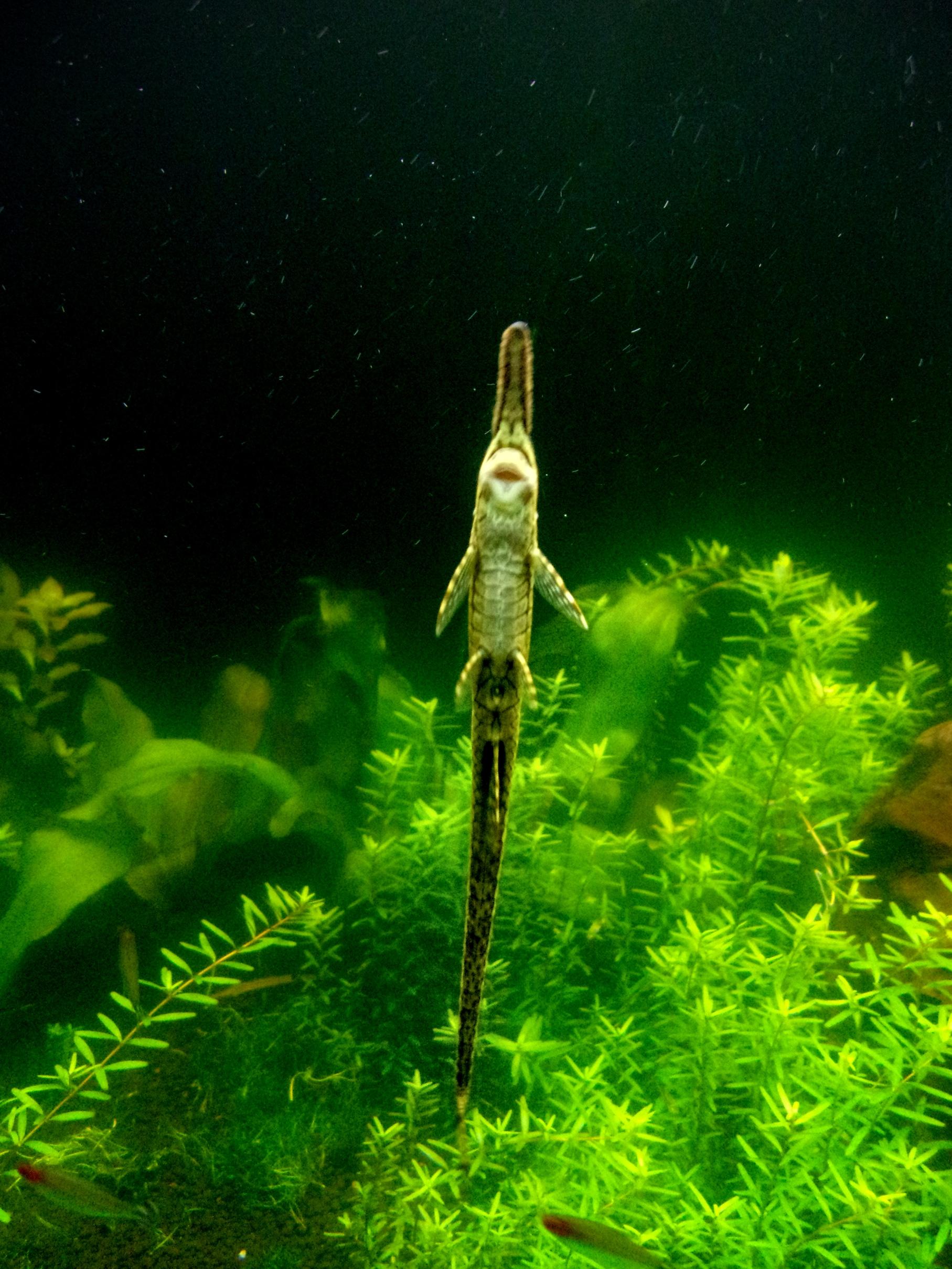 Twig catfish in aquarium photo