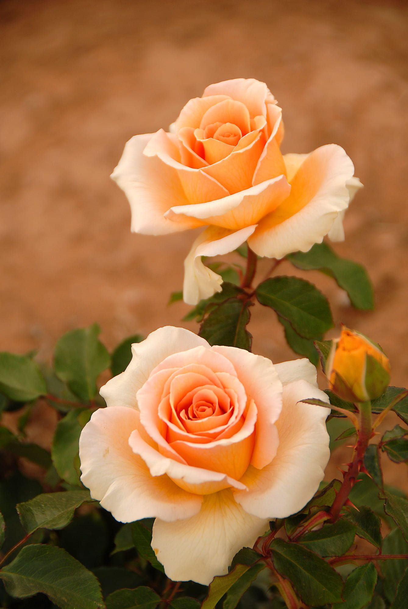 Two beautiful Roses in the Riverland of South Australia | Flowers ...