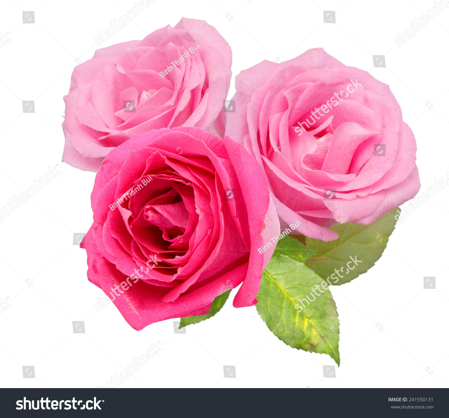 Two Beautiful Pink Rose Flowers Isolated Stock Photo (Royalty Free ...