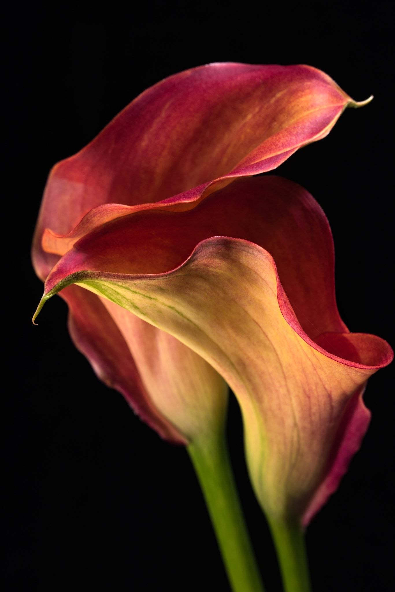 Two Callas - A fine art image of two beautiful Calla Lily flowers ...
