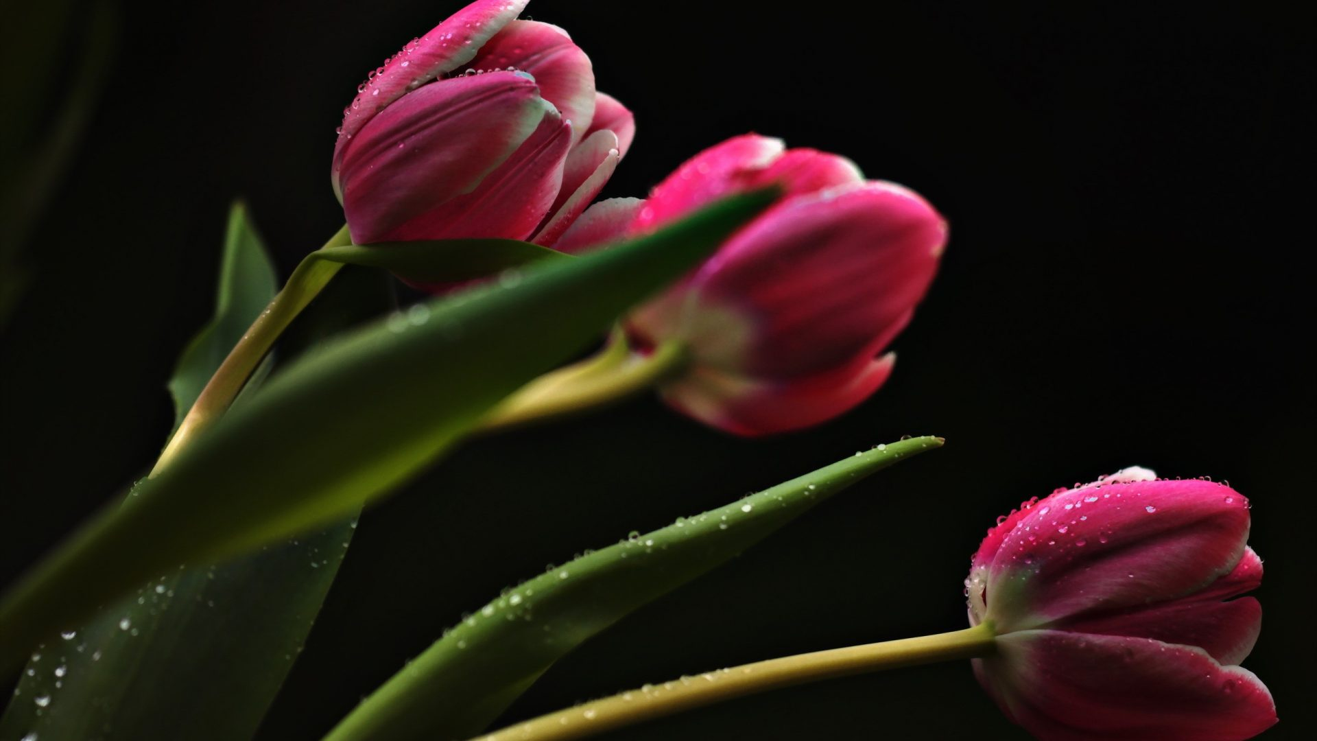 960x540 wallpapers Page 655: Orange Tulips Gorgeous Two Beautiful ...