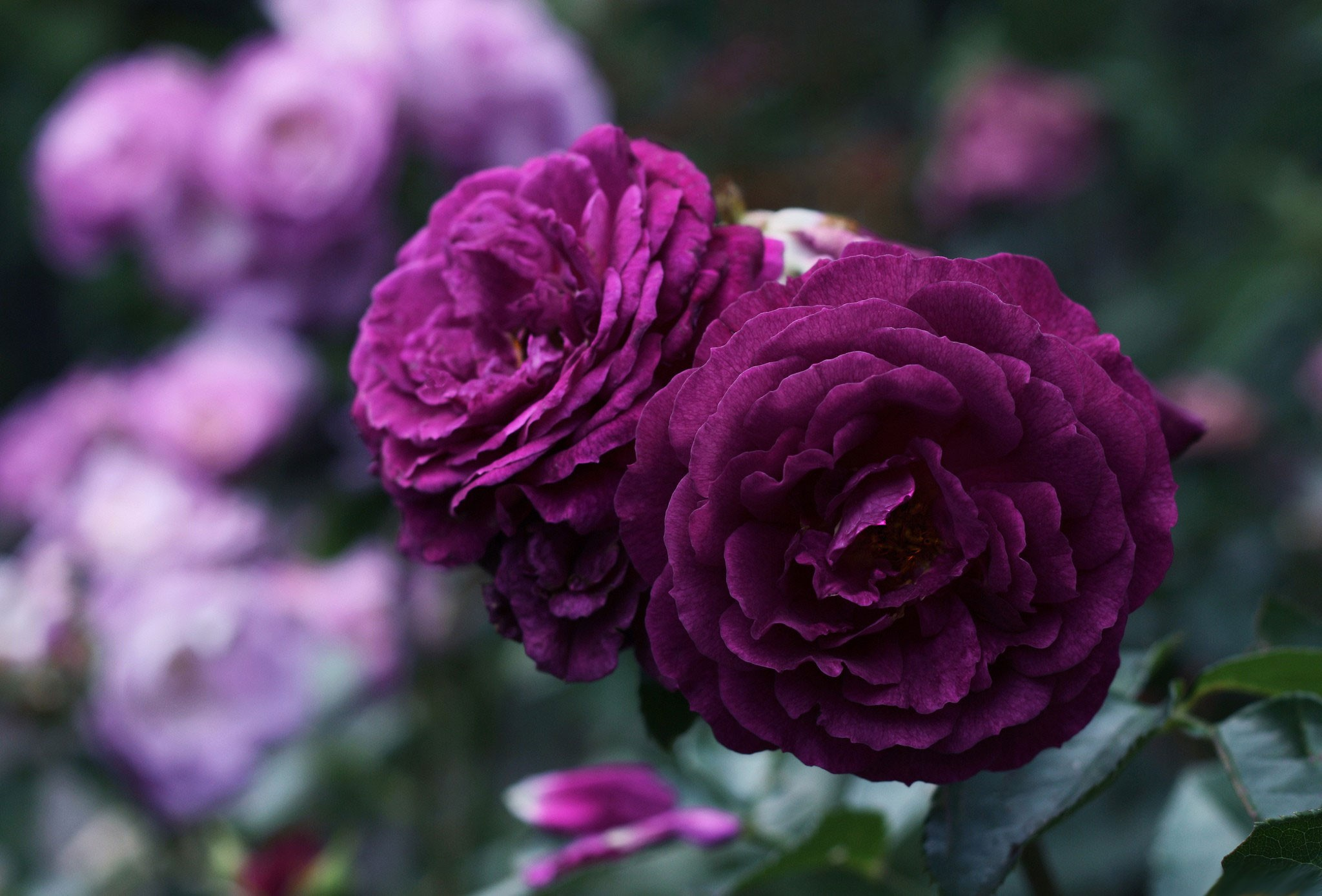 Flowers: Purple Rose Beautiful Two Roses Flower Decoration Hd Photos ...