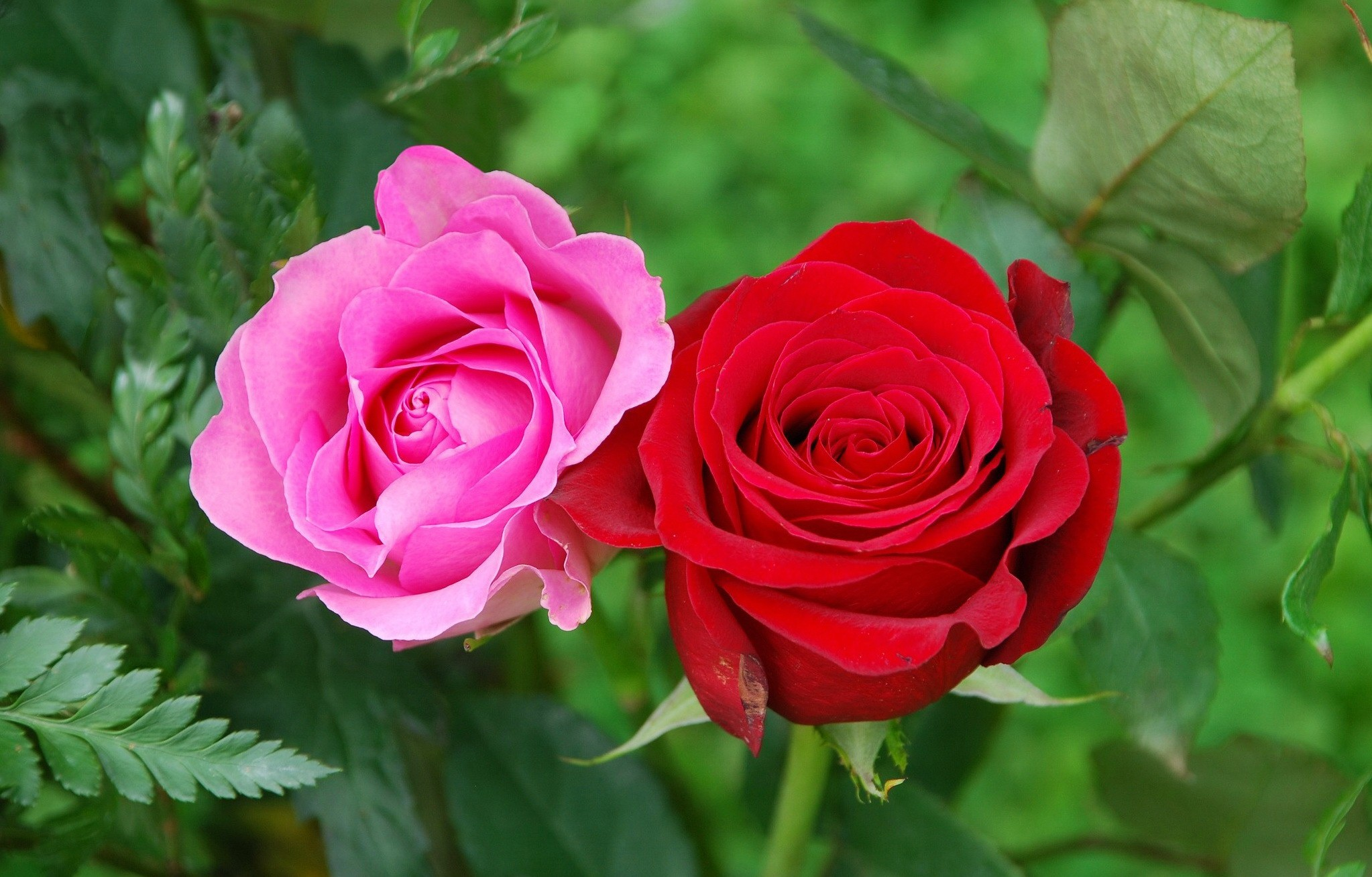 Flowers: Red Roses Garden Pink Pretty Two Delicate Leaves Beautiful ...