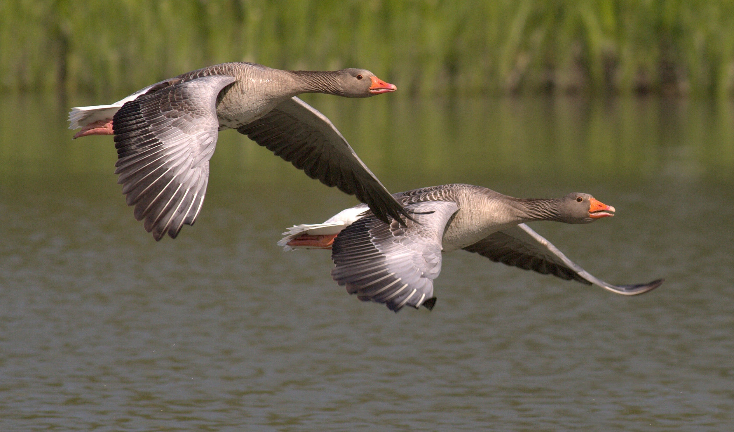 Two Birds in Flight, Nature, Geese, Flight, Birds, HQ Photo