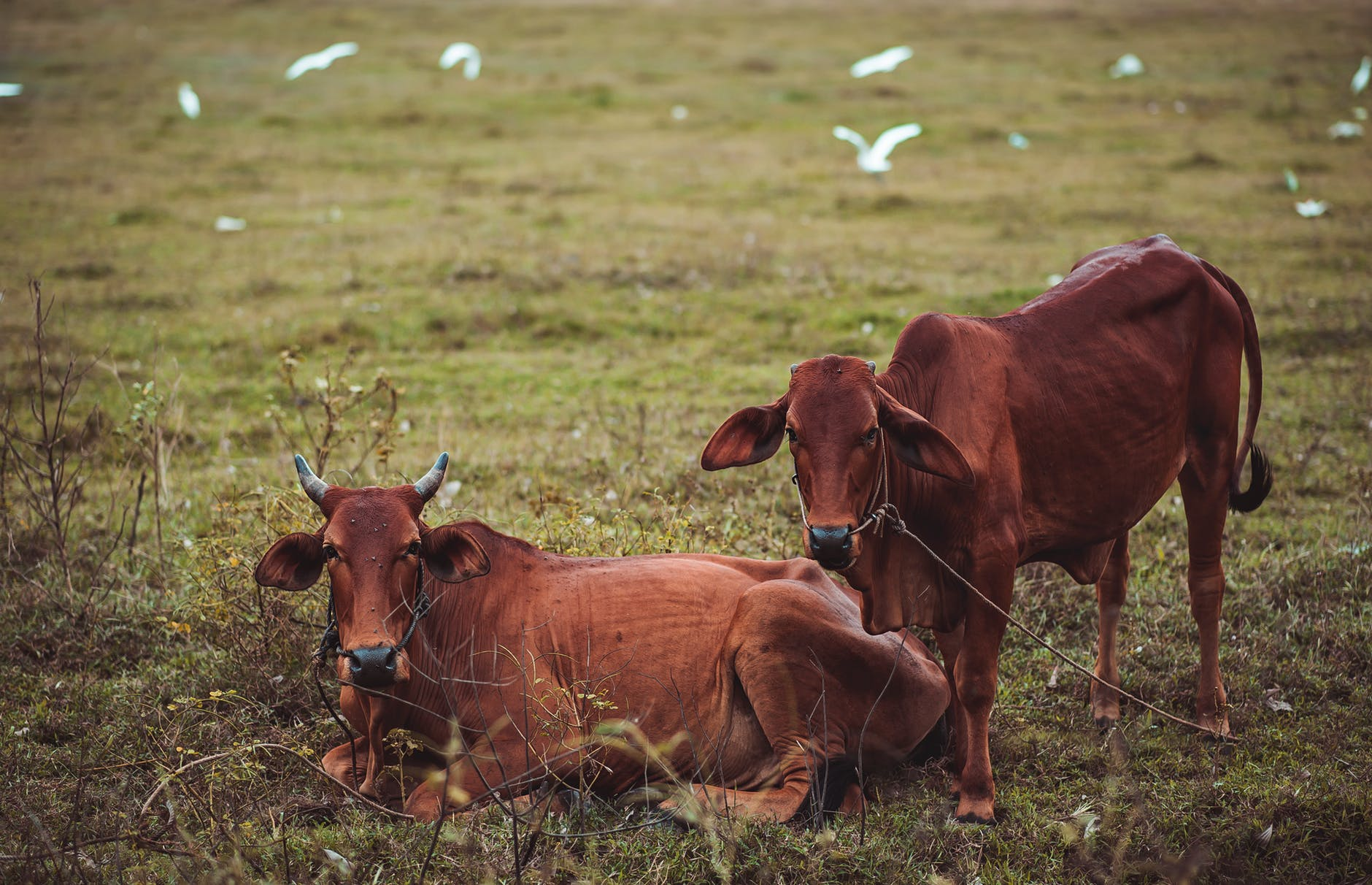 Two brown cows lying and standing on green grass photo
