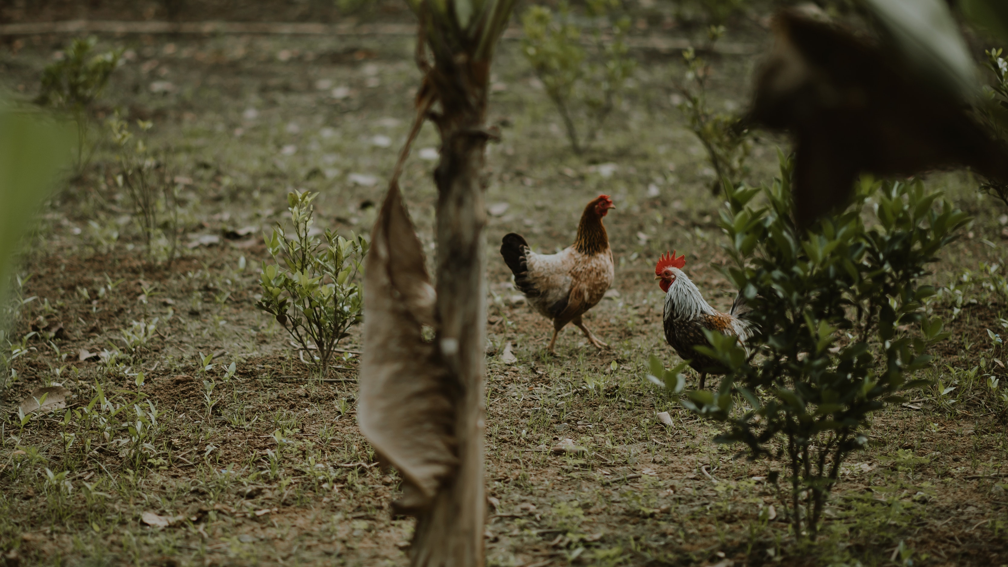 Two brown hen and white rooster standing near green plants photo