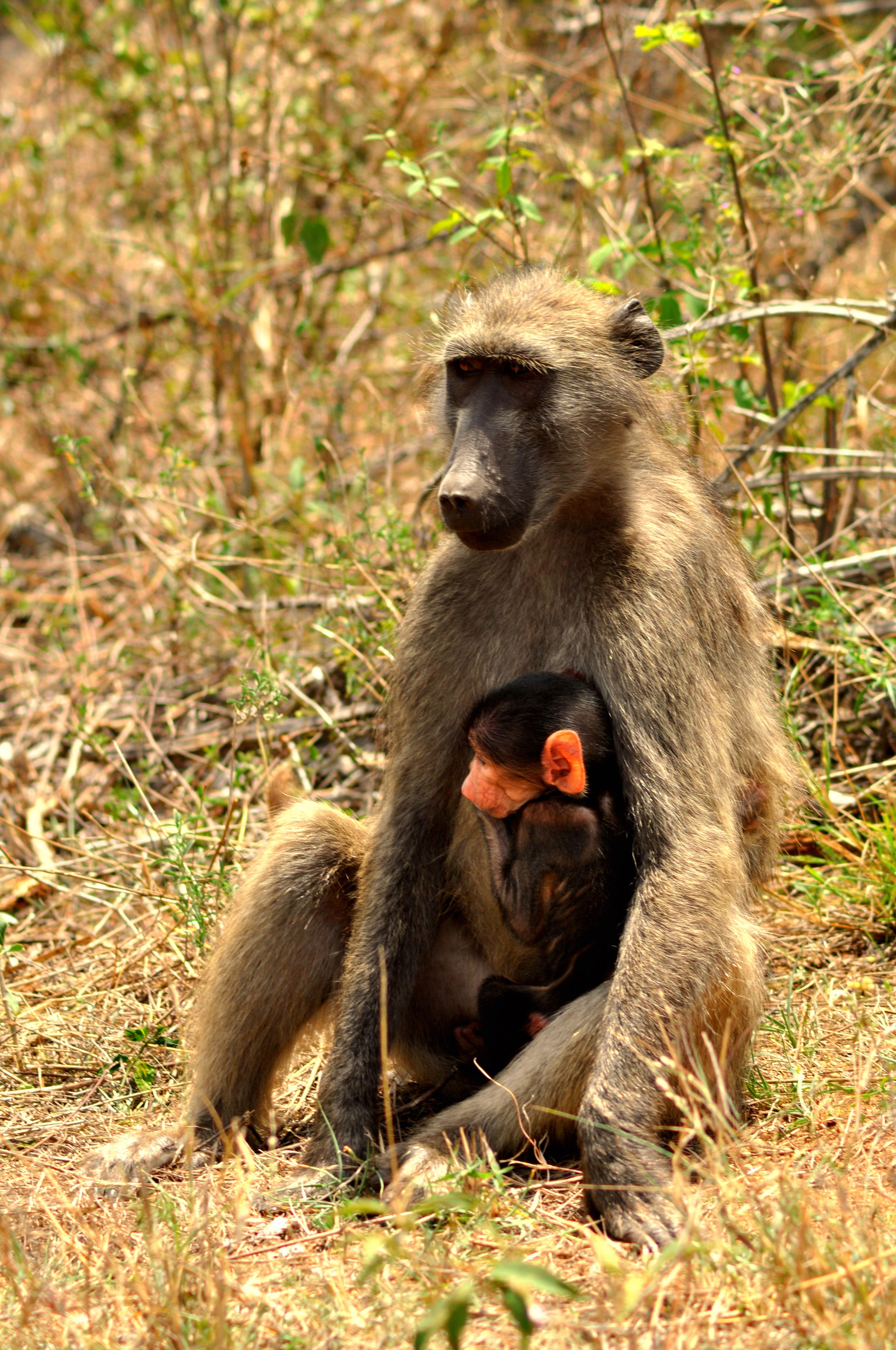 Two brown-and-black primates photo