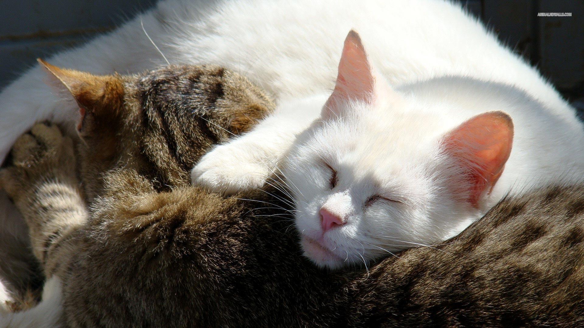 Two Cats Sleeping (id: 149569) – BUZZERG