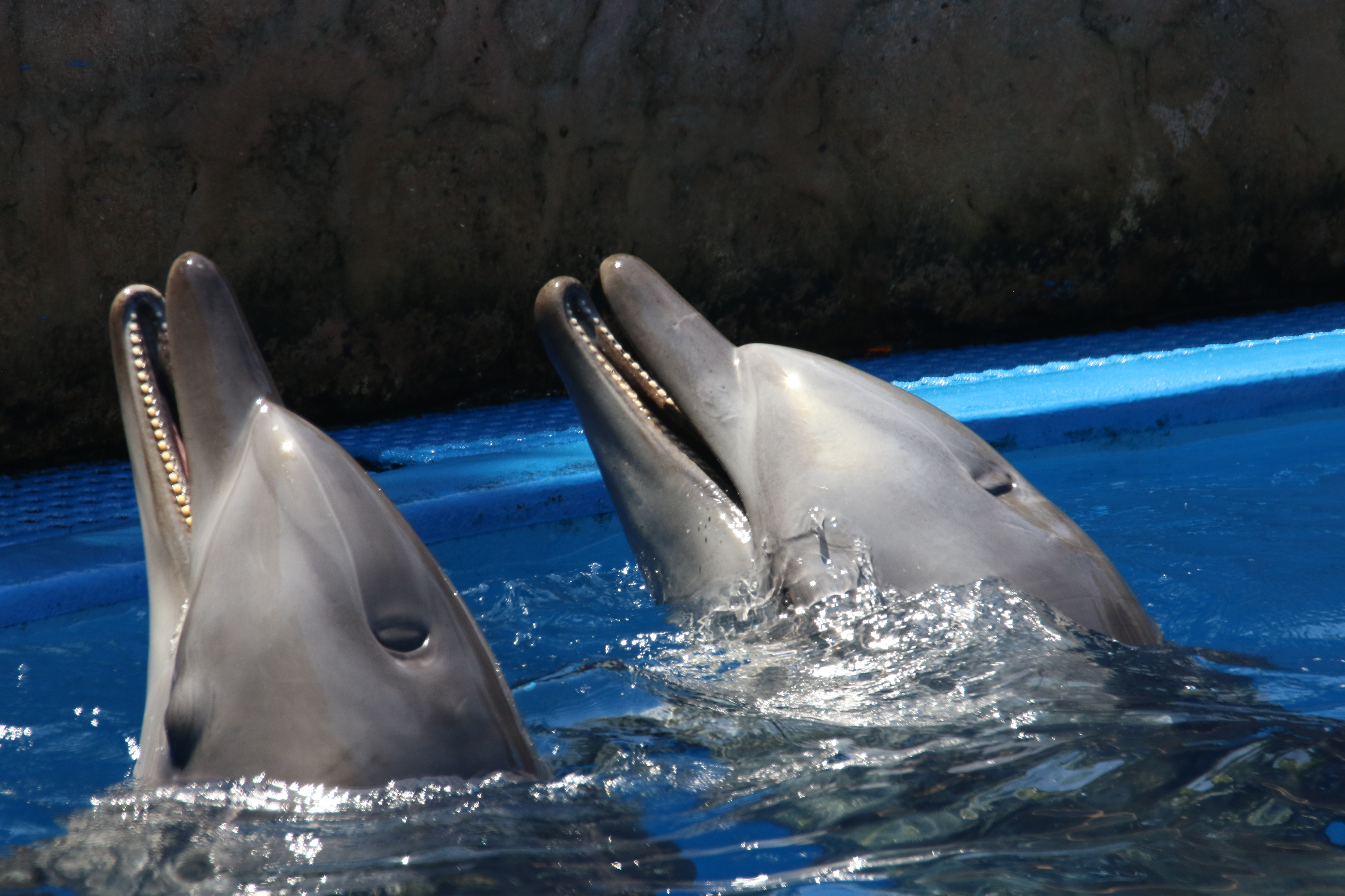 Two dolphins playing in the aquarium, Two dolphins playing in the aquarium