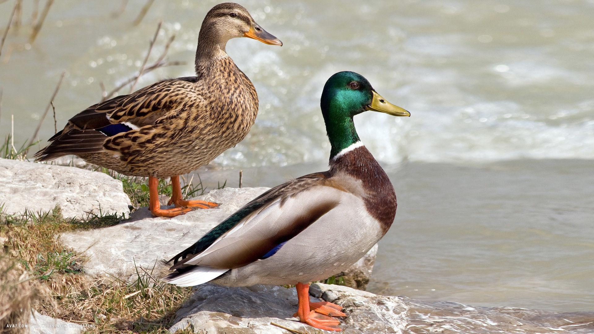 duck two ducks birds hd widescreen wallpaper / birds backgrounds