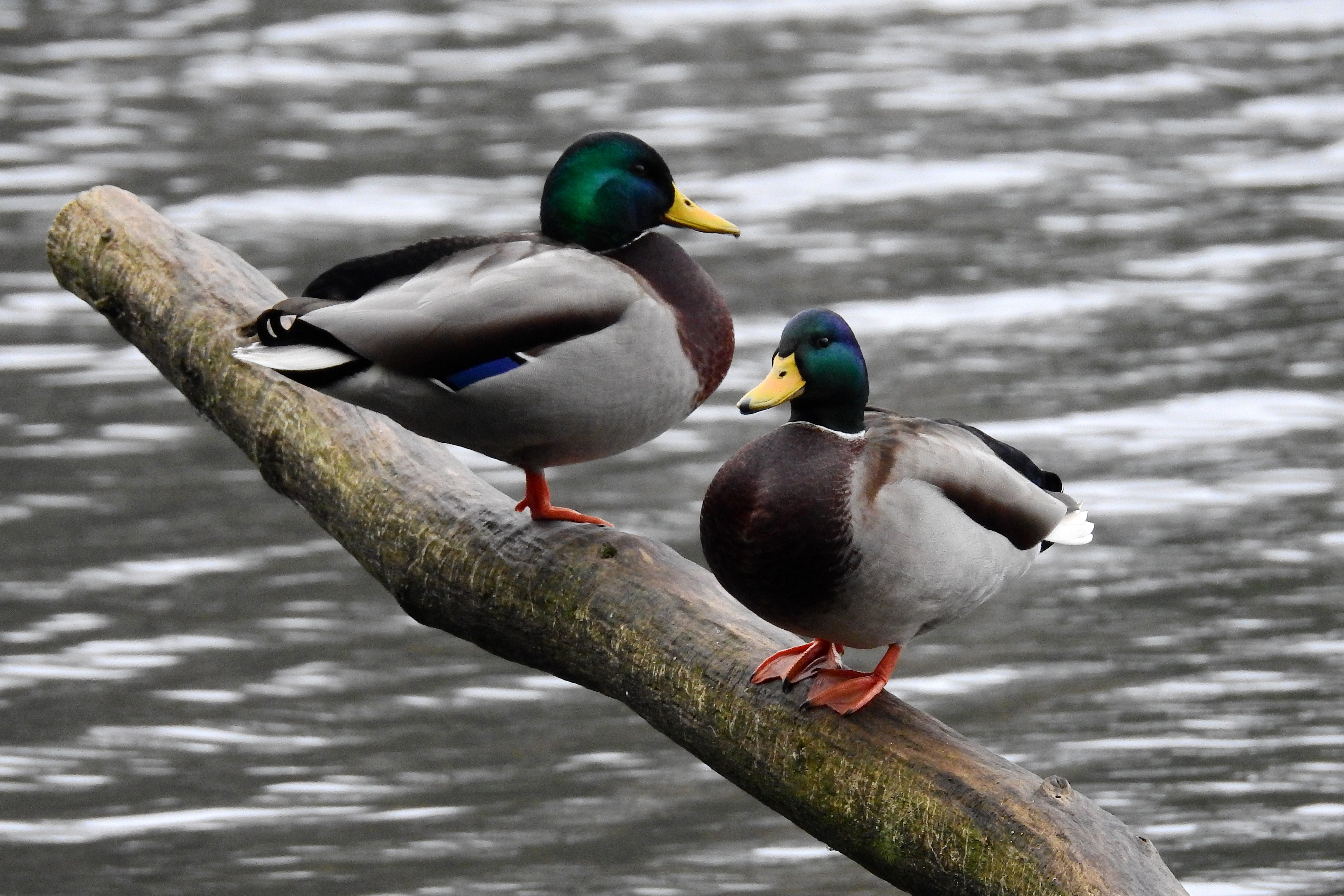 Two ducks standing on a log in the pond image - Free stock photo ...