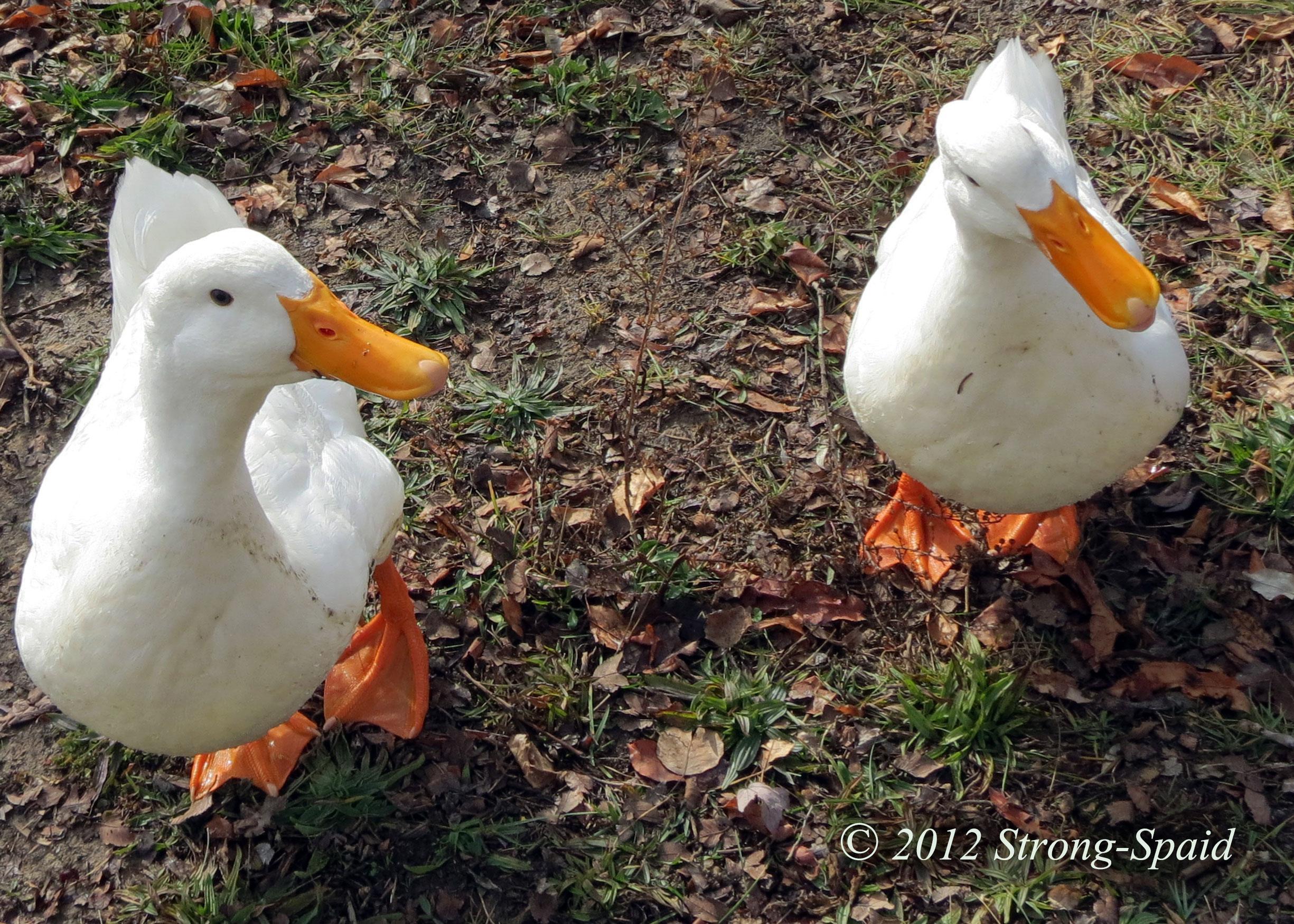 Duck Quack Reprimand | Before I Forget