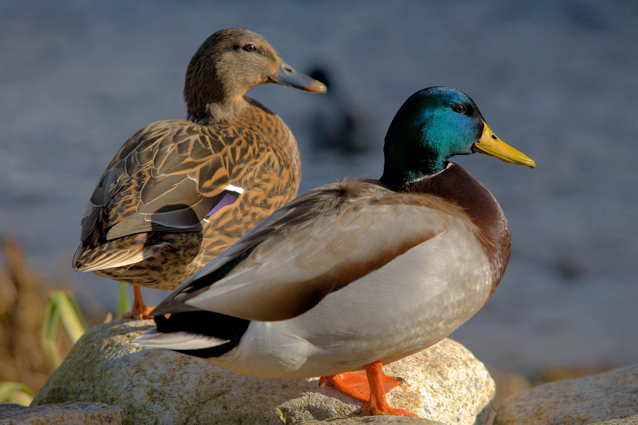 Wikipedia:Featured picture candidates/Two Mallard ducks ... | Noah's ...
