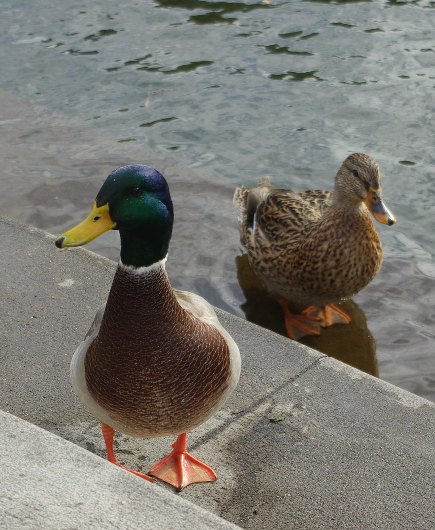 File:Two ducks at Millennium Plaza on Lakewood Bay - Lake Oswego ...