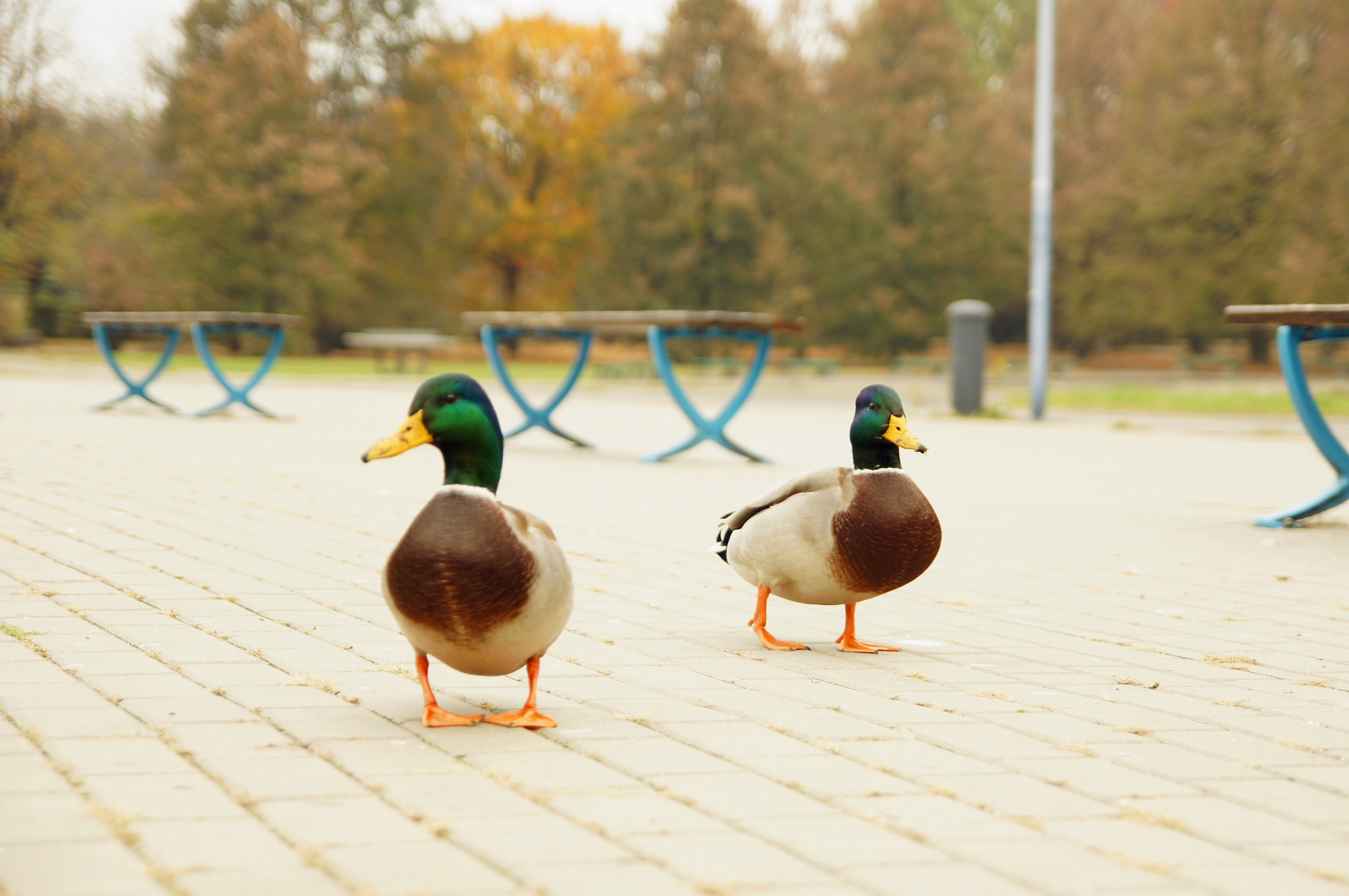 Two ducks walking - Our Great Photos