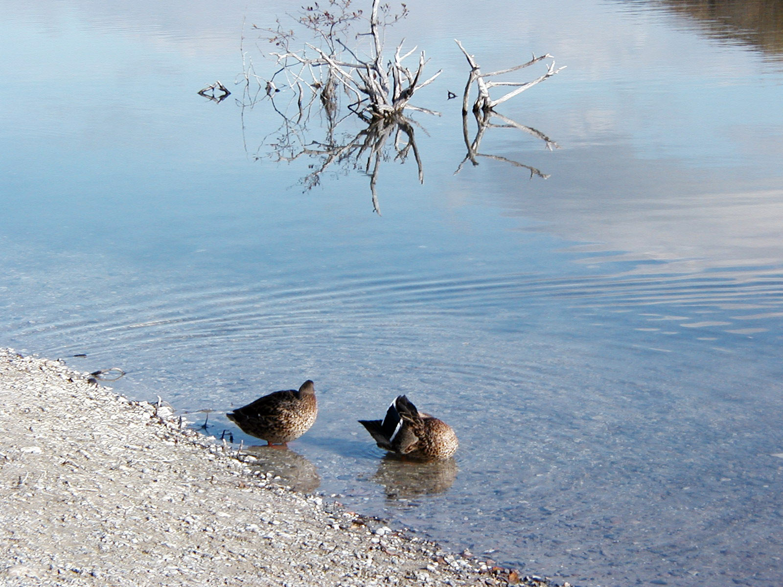 Two ducks by the lake, Branches, Cleaning, Dead, Ducks, HQ Photo