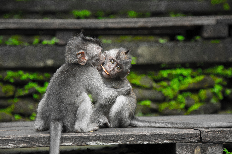 Two gray monkey on black chair photo
