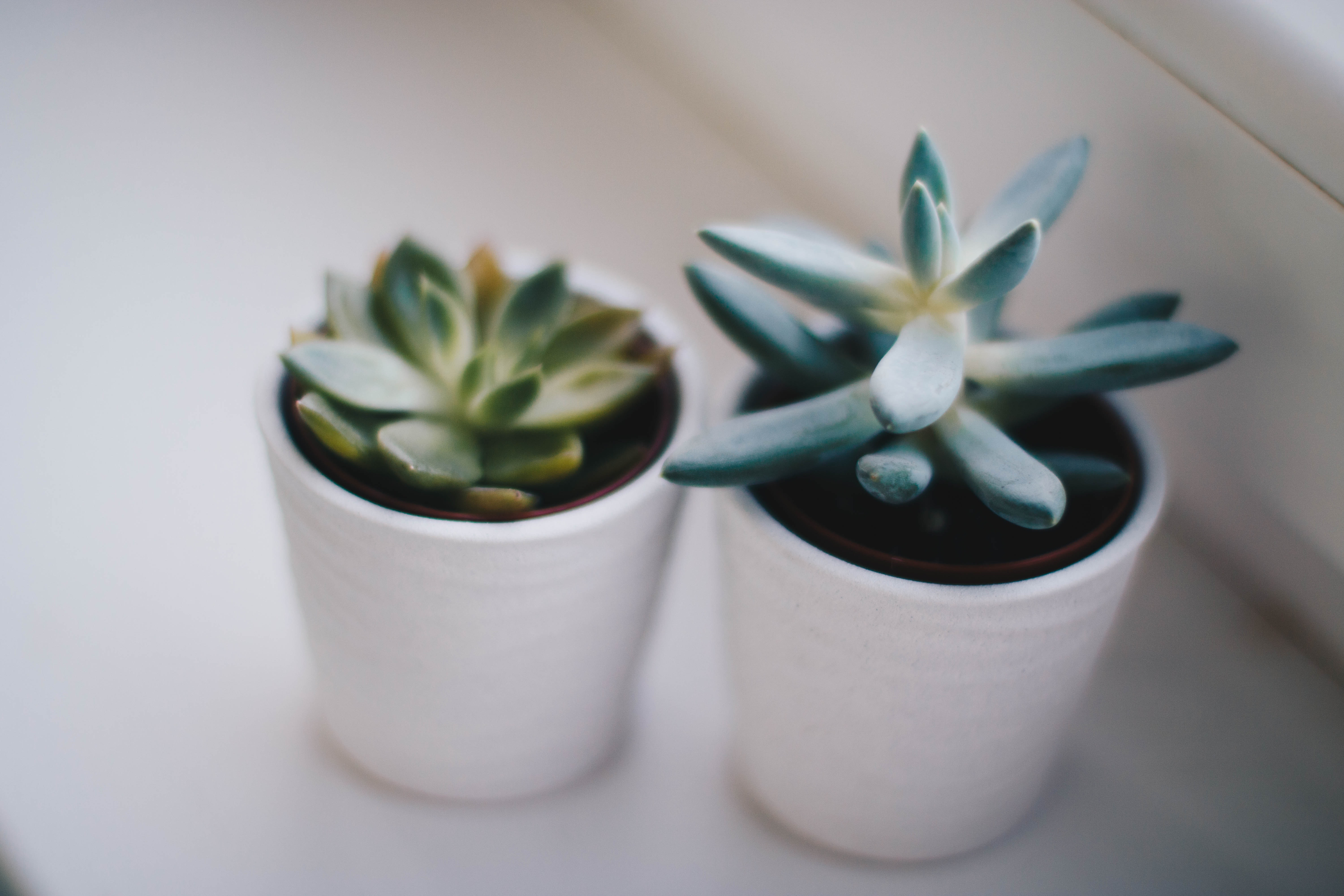 Two green succulent plants photo