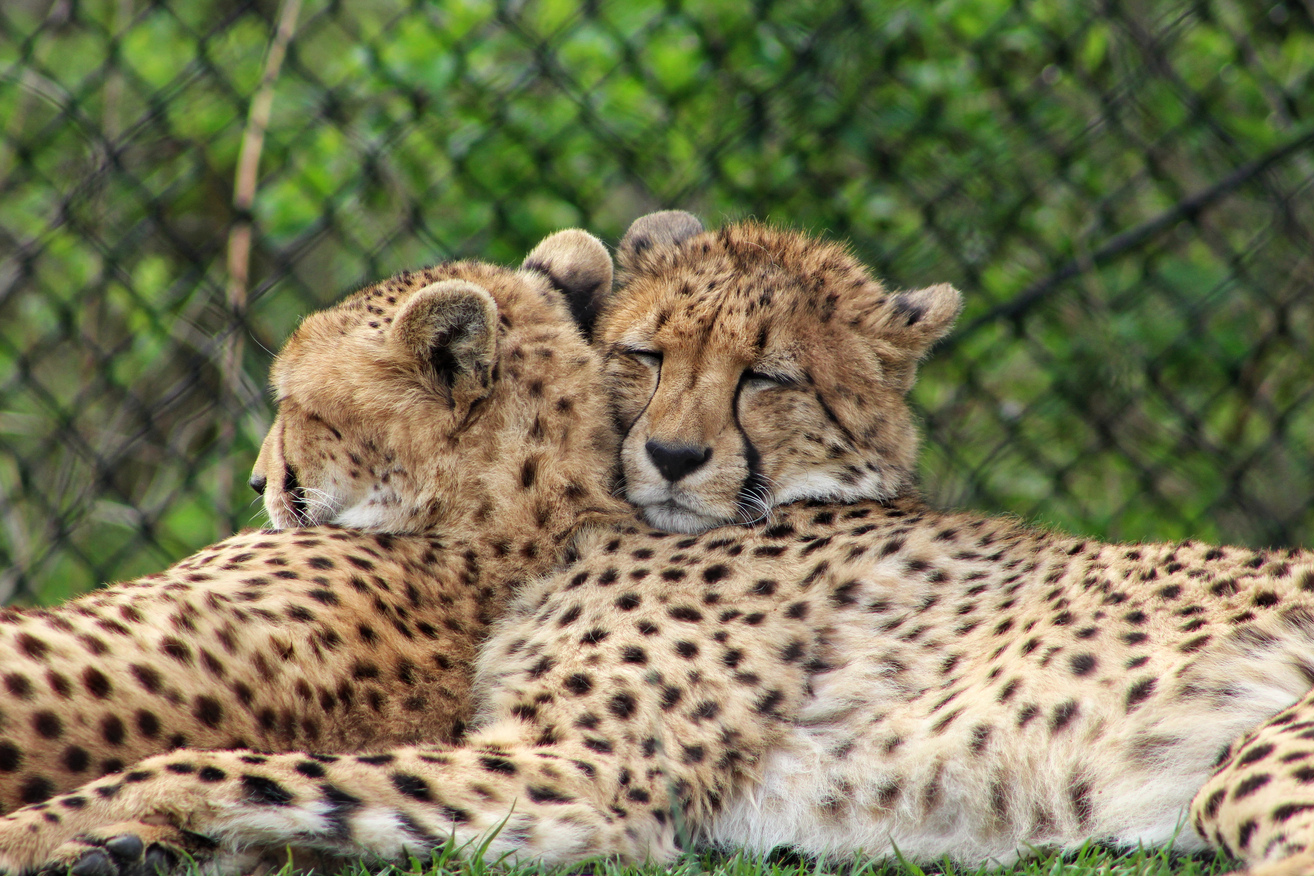 Two heads are better than one, Animal, Cat, Cat images, Cheetah, HQ Photo