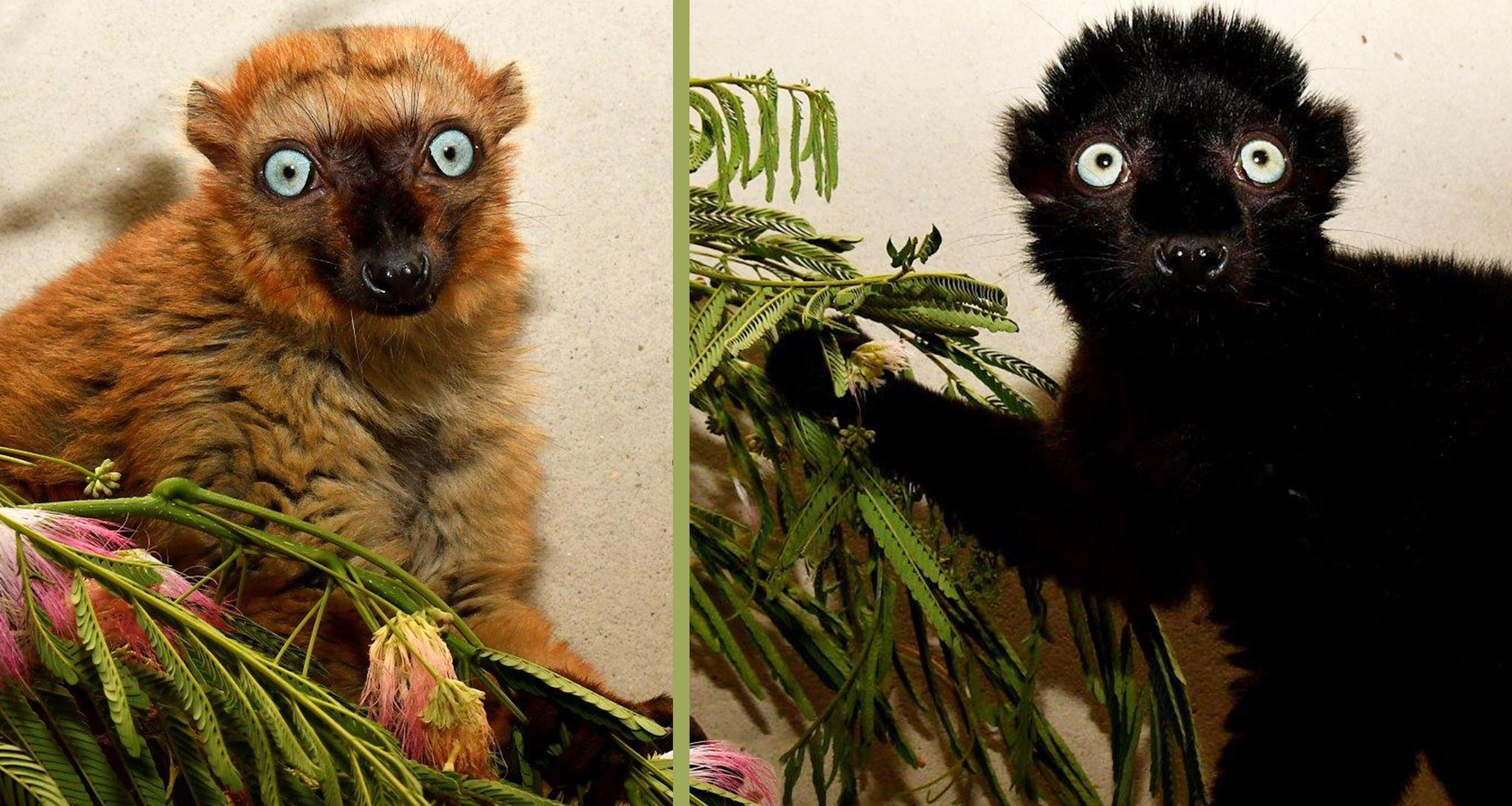 Duke University Receives 2 Endangered Lemurs From Madagascar | WUNC