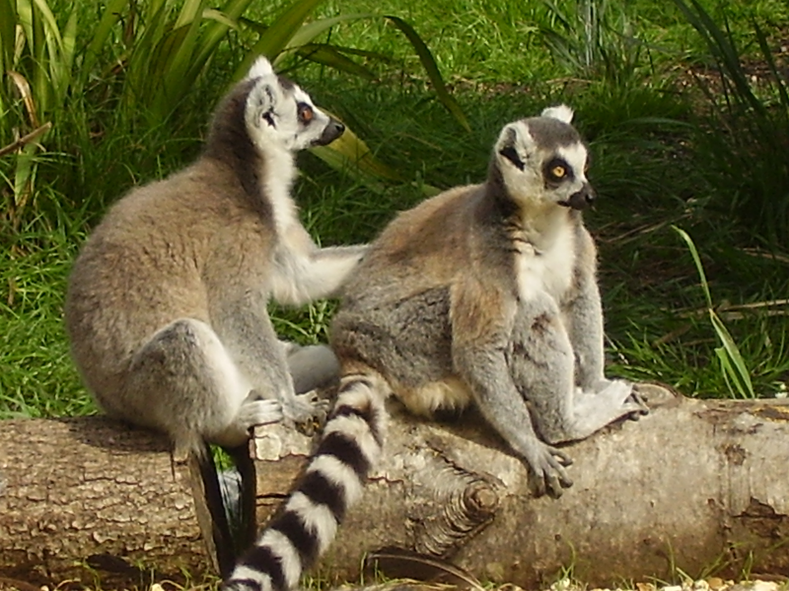 File:Two ringtailed lemurs at Beale Wildlife Park and Gardens .jpg ...