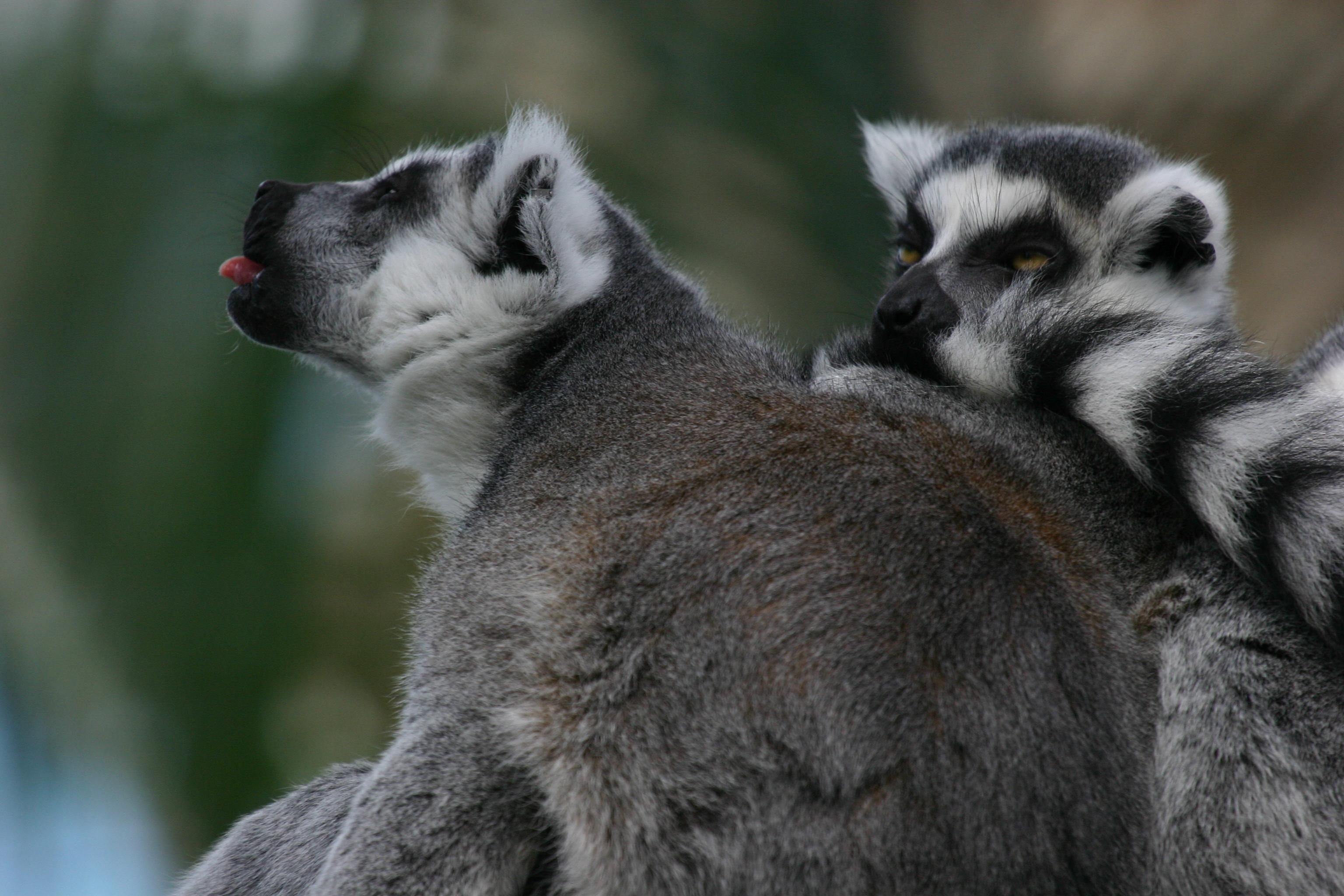 Ring-Tailed Lemur Tongue! | Cute Animal Tongues