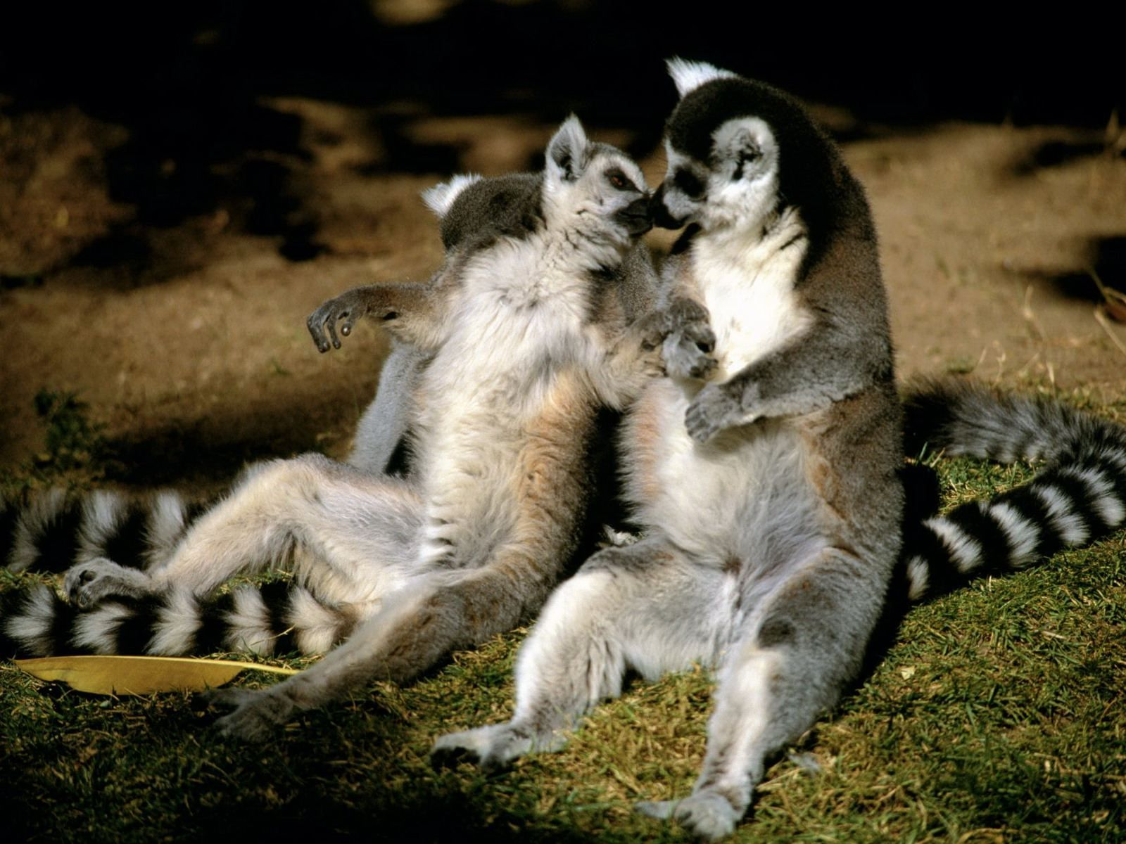 Tow Ring Tailed Lemur | LEMURS | Pinterest | Lemur, Animal wallpaper ...