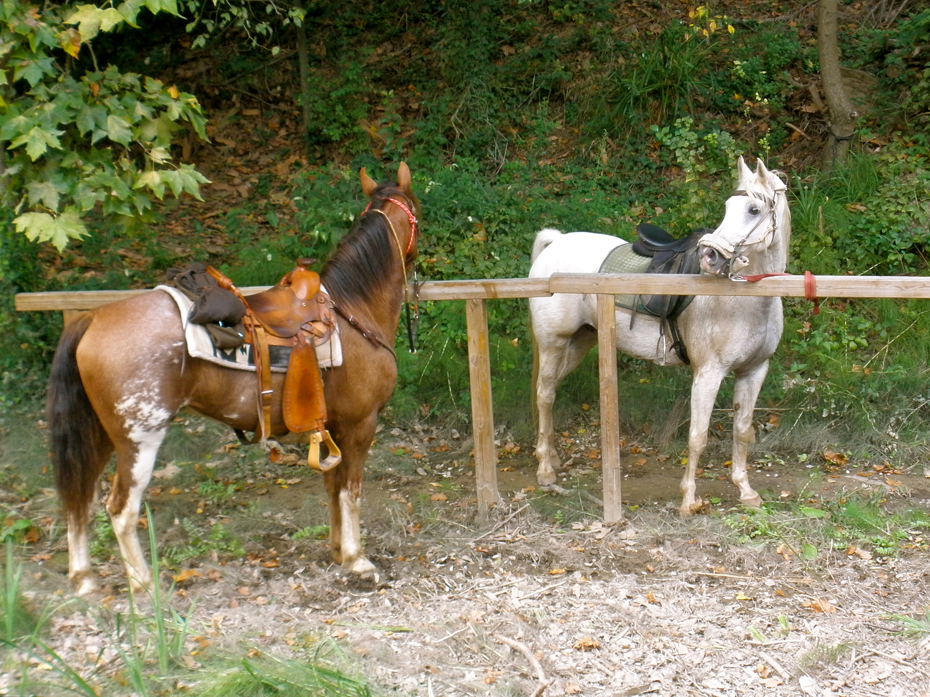 Two little cuties, American, Animal, Arabian, Horse, HQ Photo