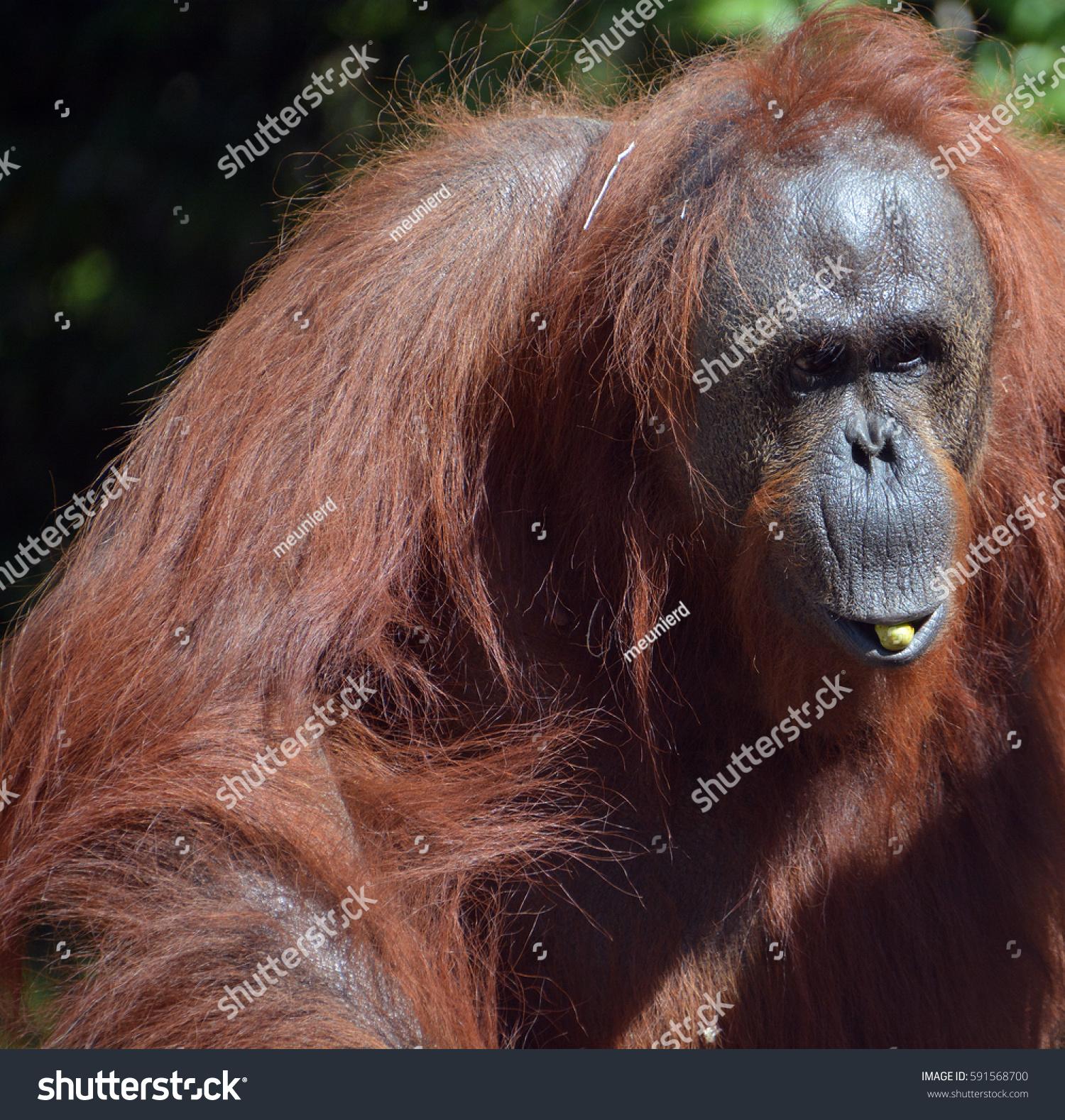 Orangutans Orangutan Orangutang Orangutang Two Exclusively Stock ...