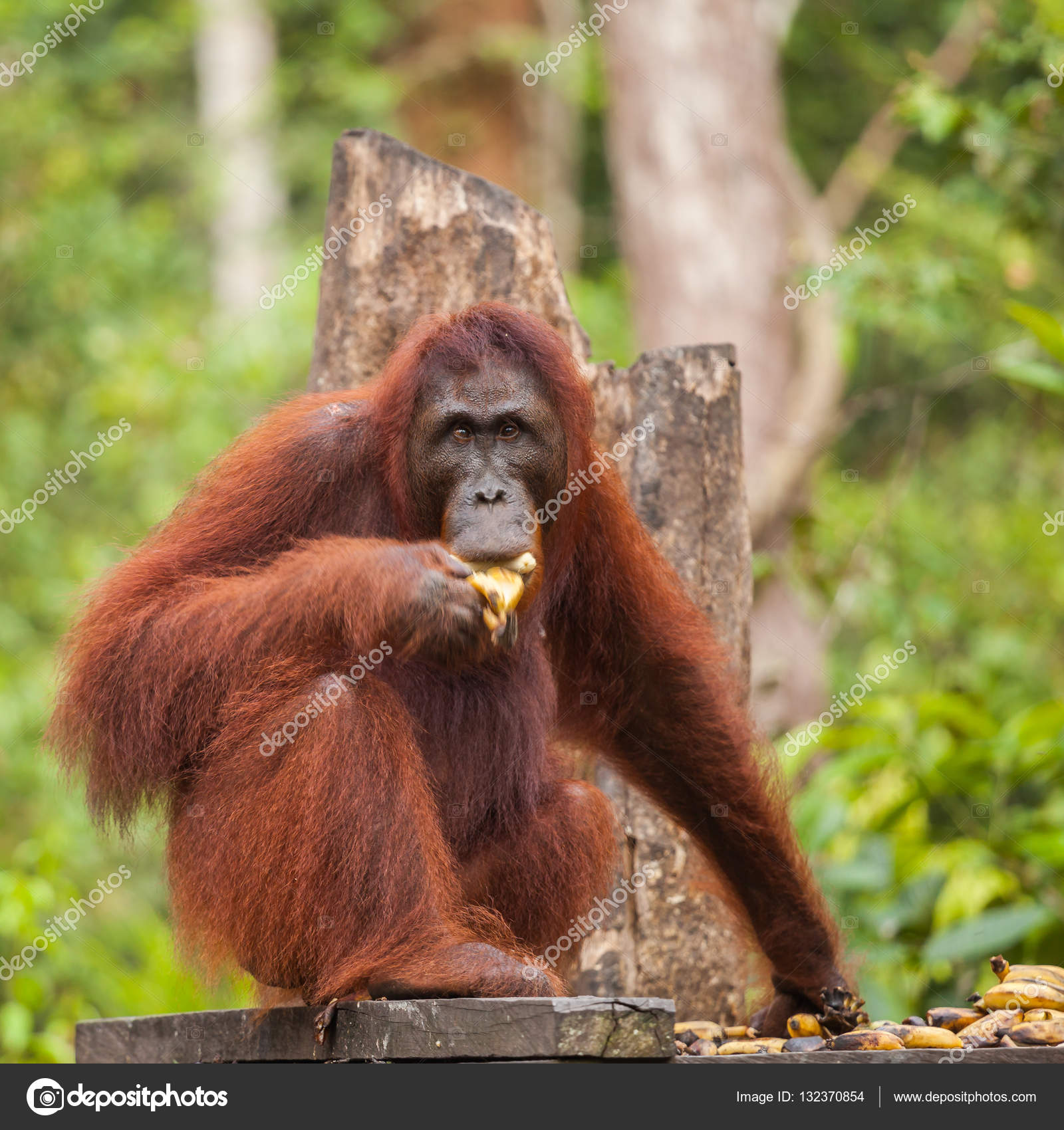 Orangutans Two Exclusively Asian Species Extant Great Apes Native ...