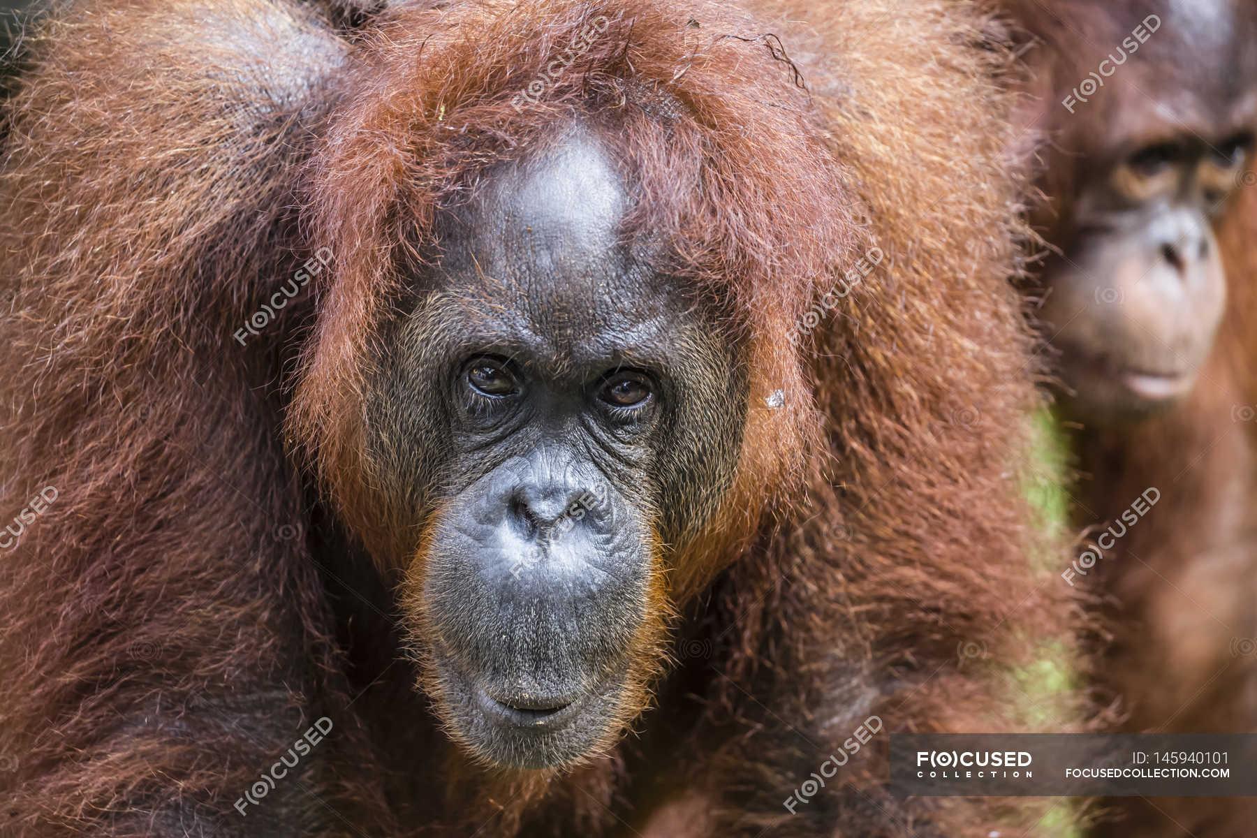 Two bornean orangutans — Stock Photo | #145940101