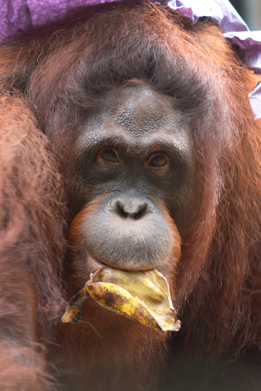 BOS Foundation Deploys More Orangutans to Salat Pre-Release Island ...