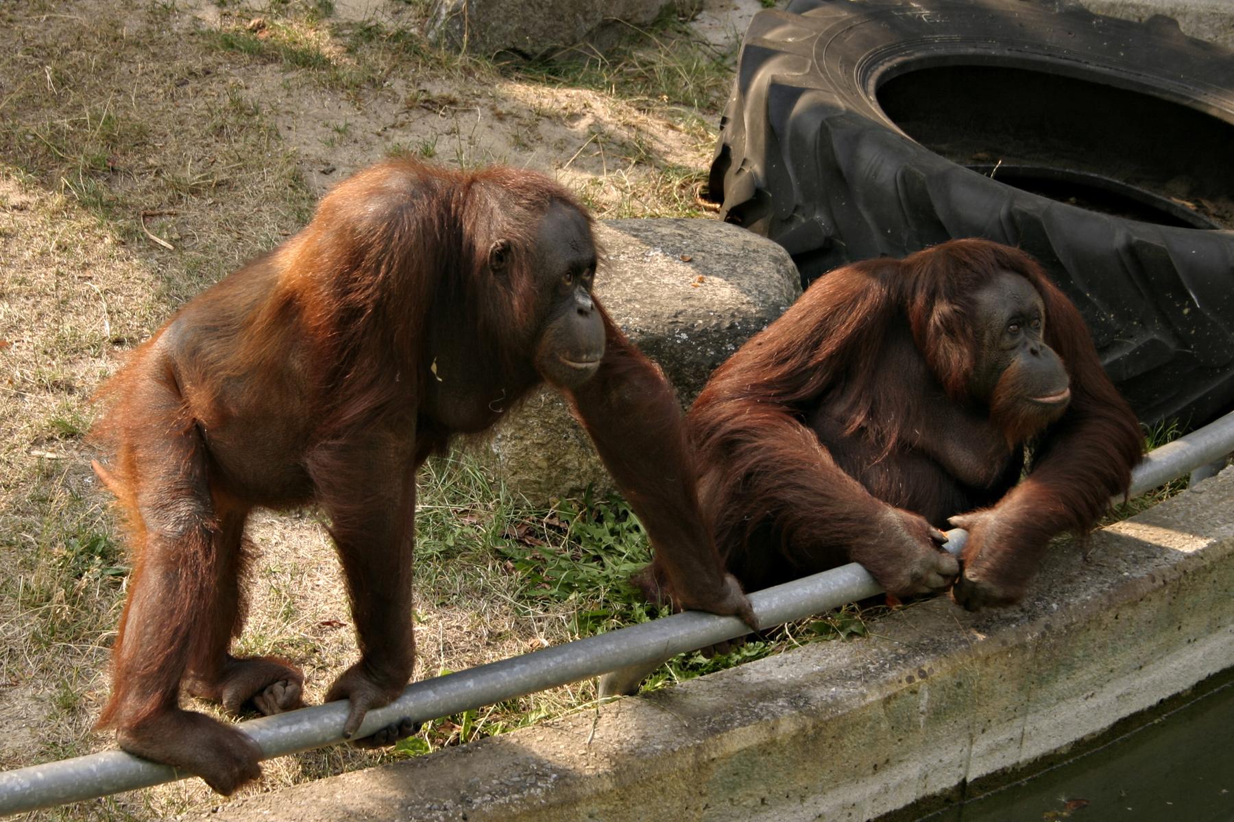 Two orangutans, Ape, Looking, Monkey, Orangutan, HQ Photo