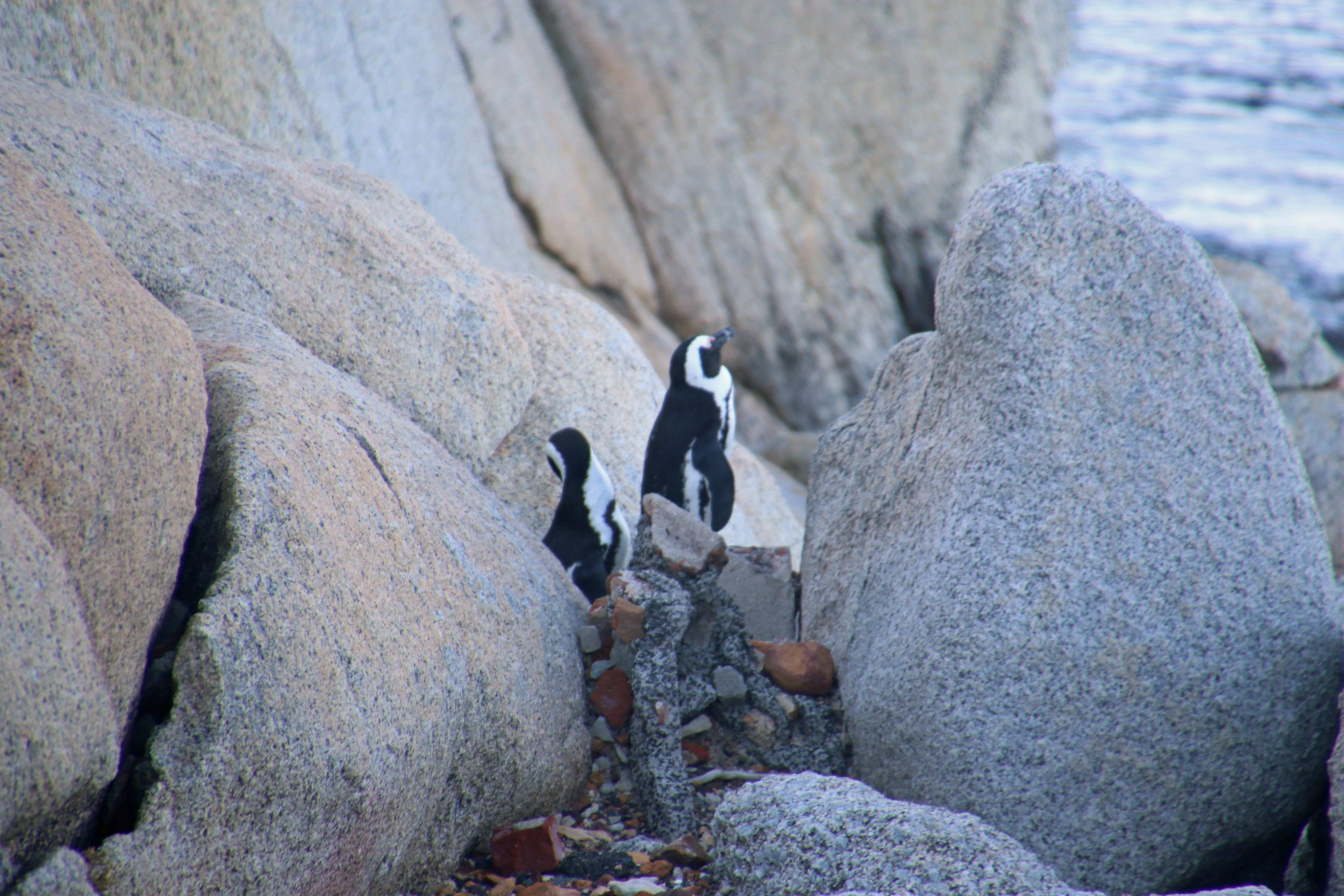 Two penguins in the rocks photo