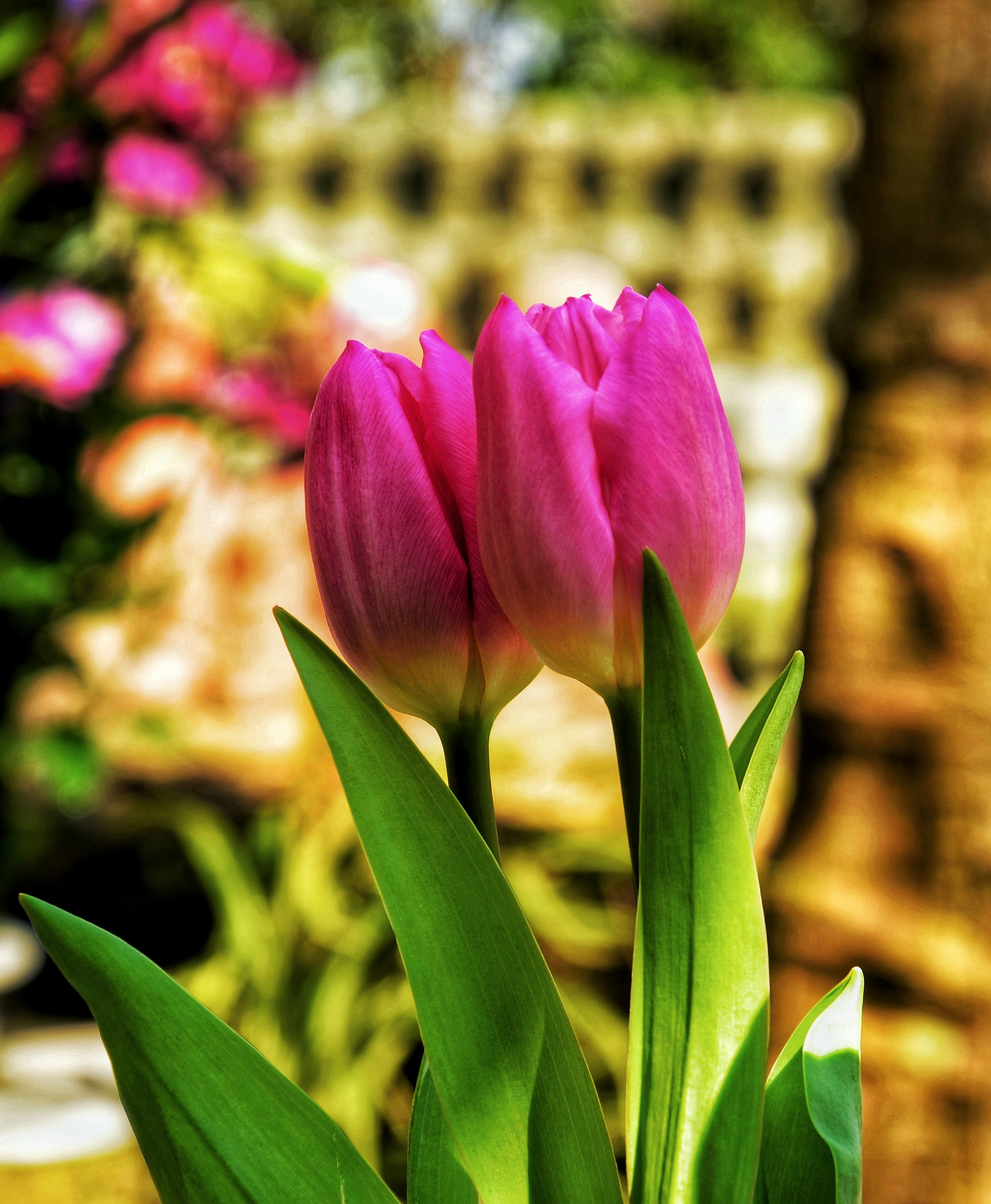Free Photo Two Pink Tulip Flowers Growth Nature Petals Free