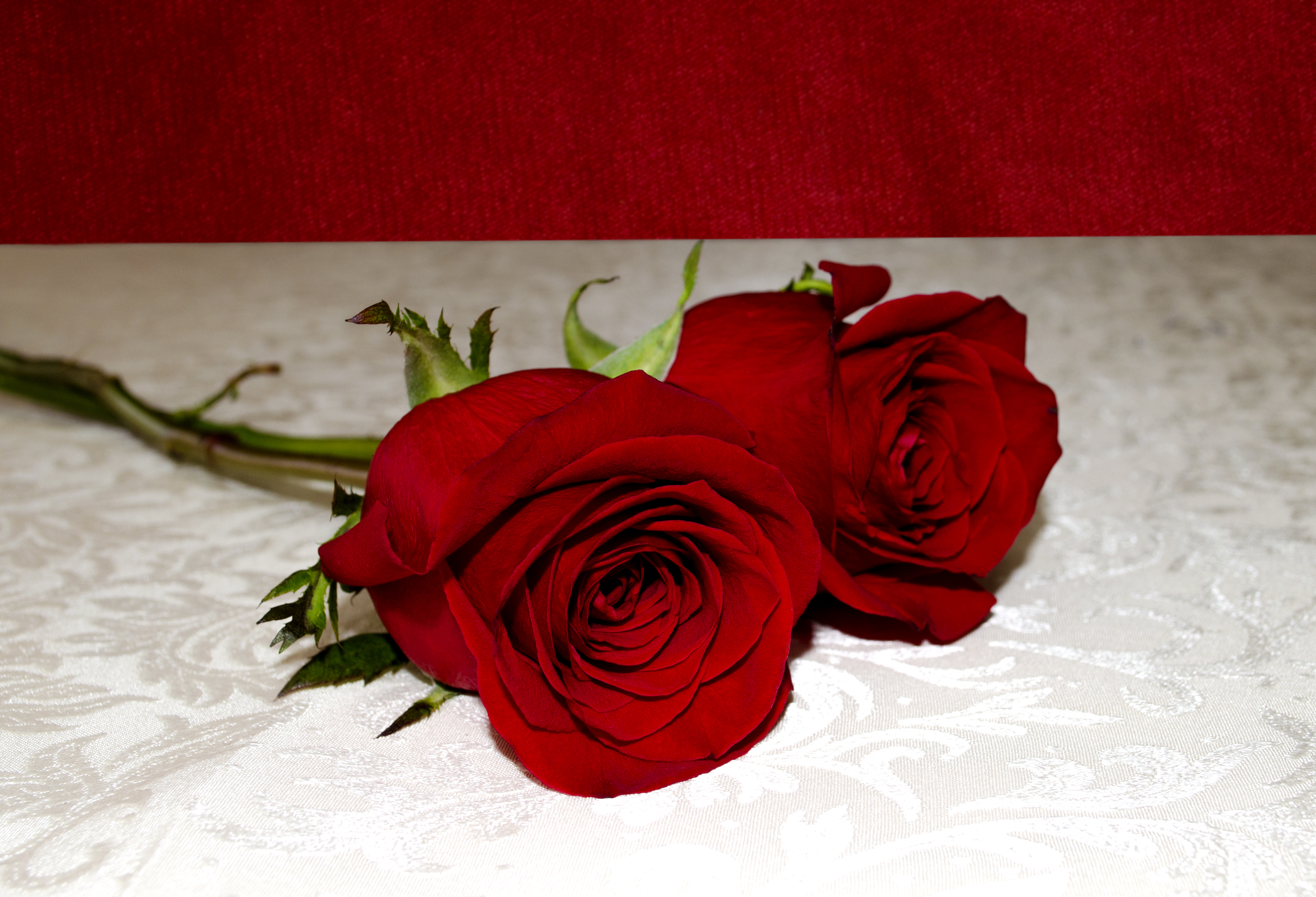 Two red roses on a white surface photo