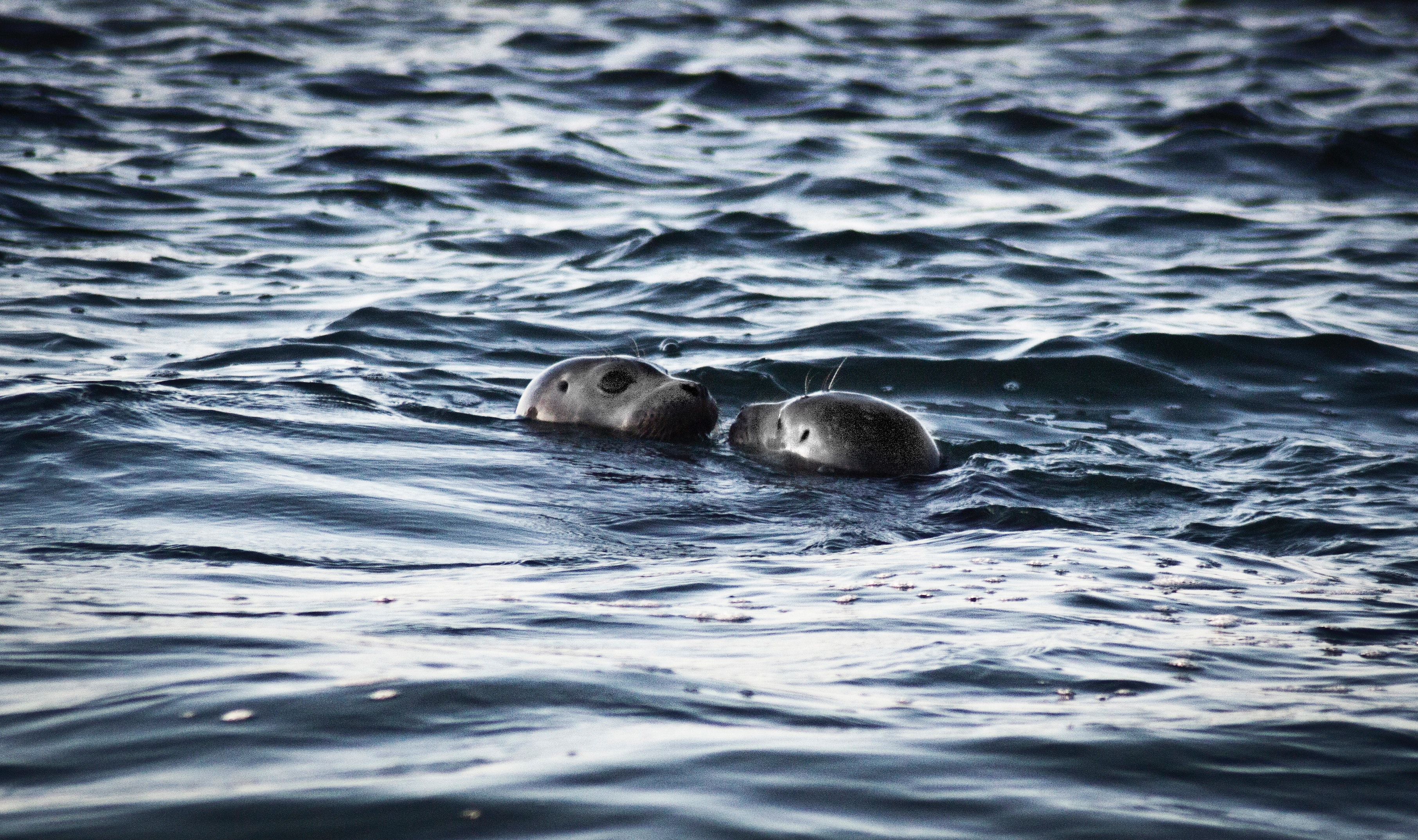 Two sea lions in ocean at daytime photo