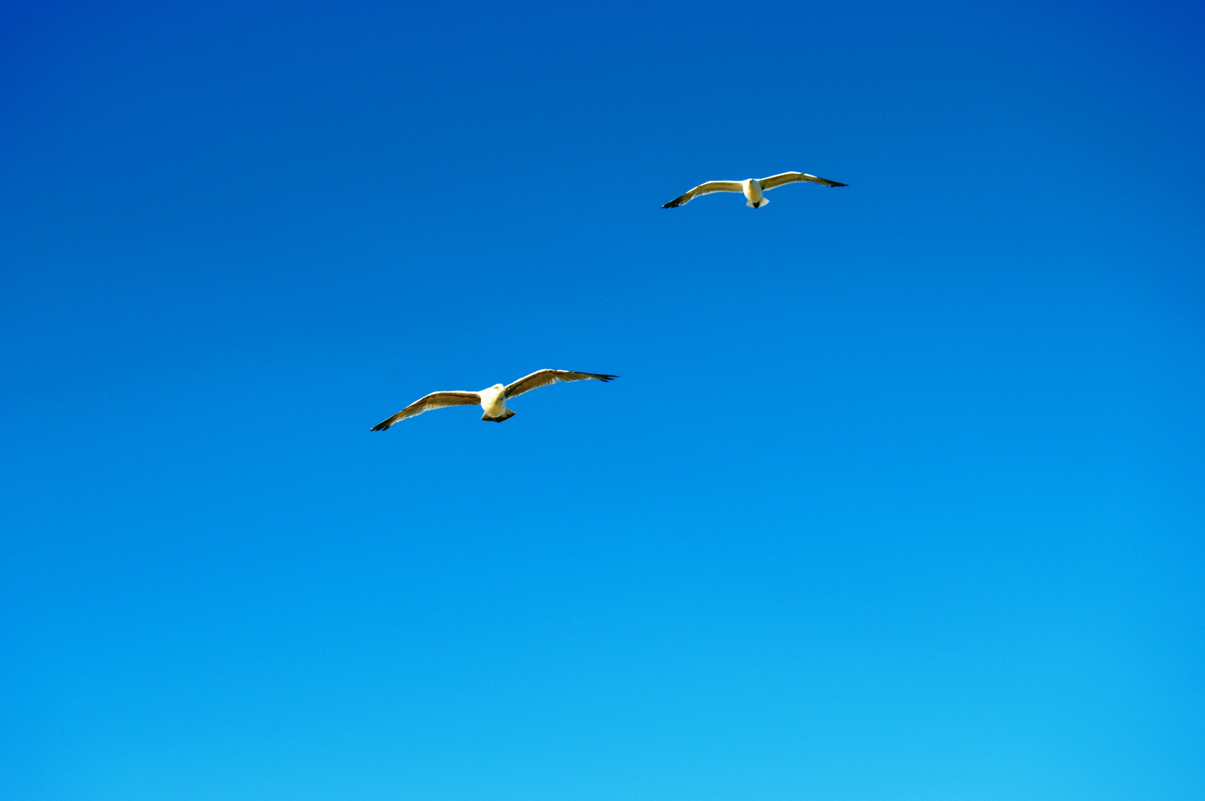 Two seagulls fly side by side photo