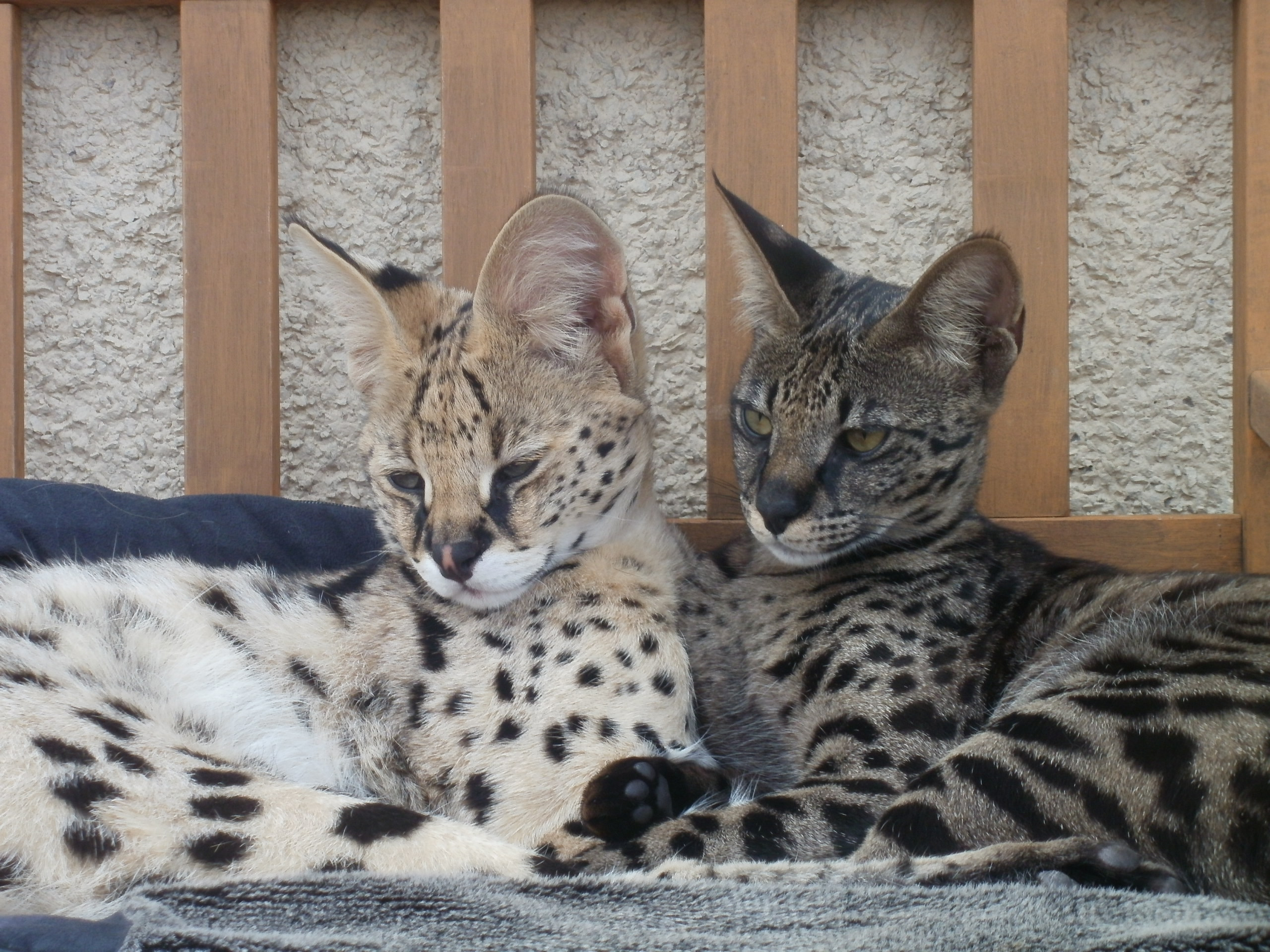 www.hotspotexotics.co.uk - HOTSPOTEXOTICS - Exotic Cats