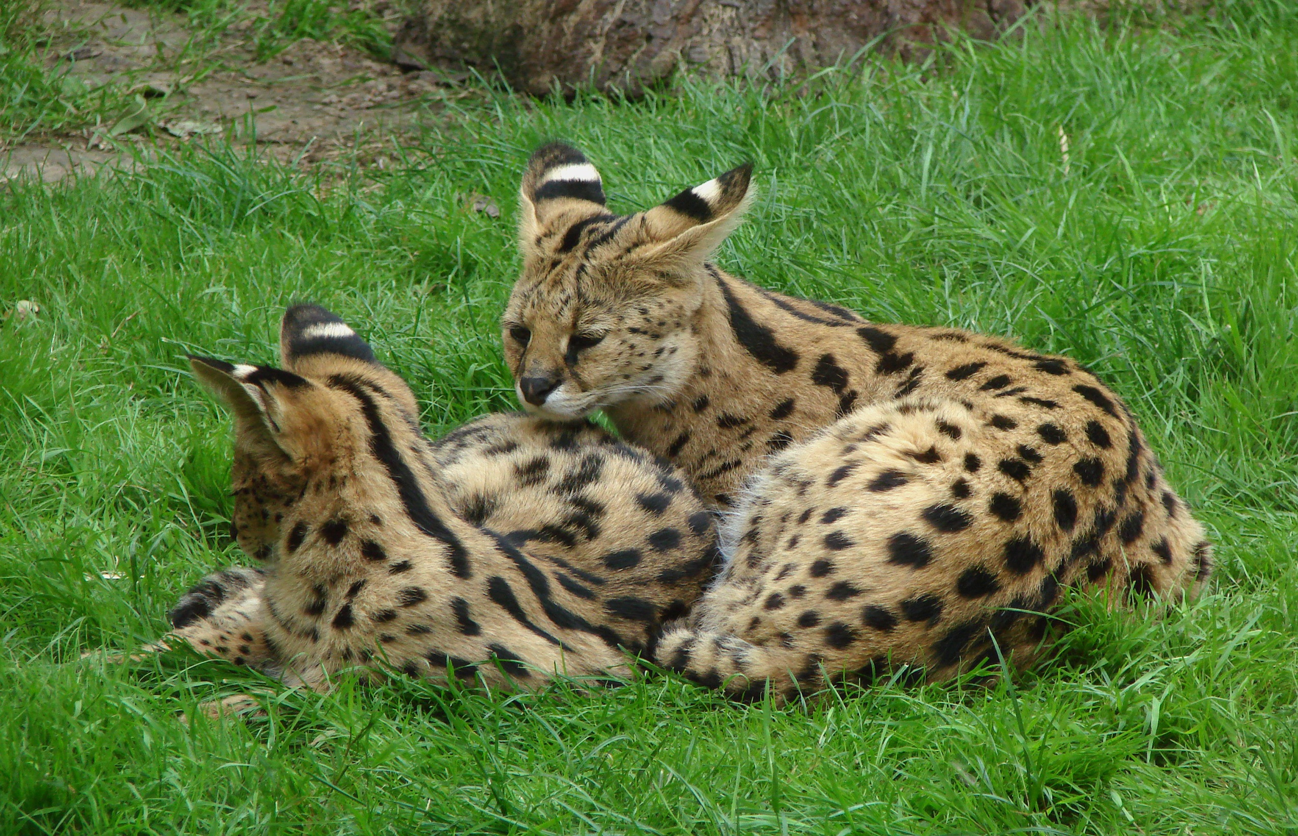 Two Servals, Animal, Cat, Nature, Two, HQ Photo